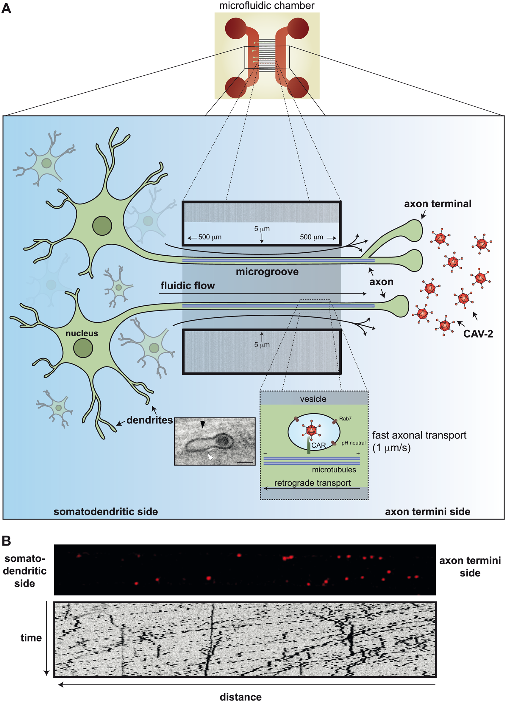 Axonal transport of CAV-2 in neurons.