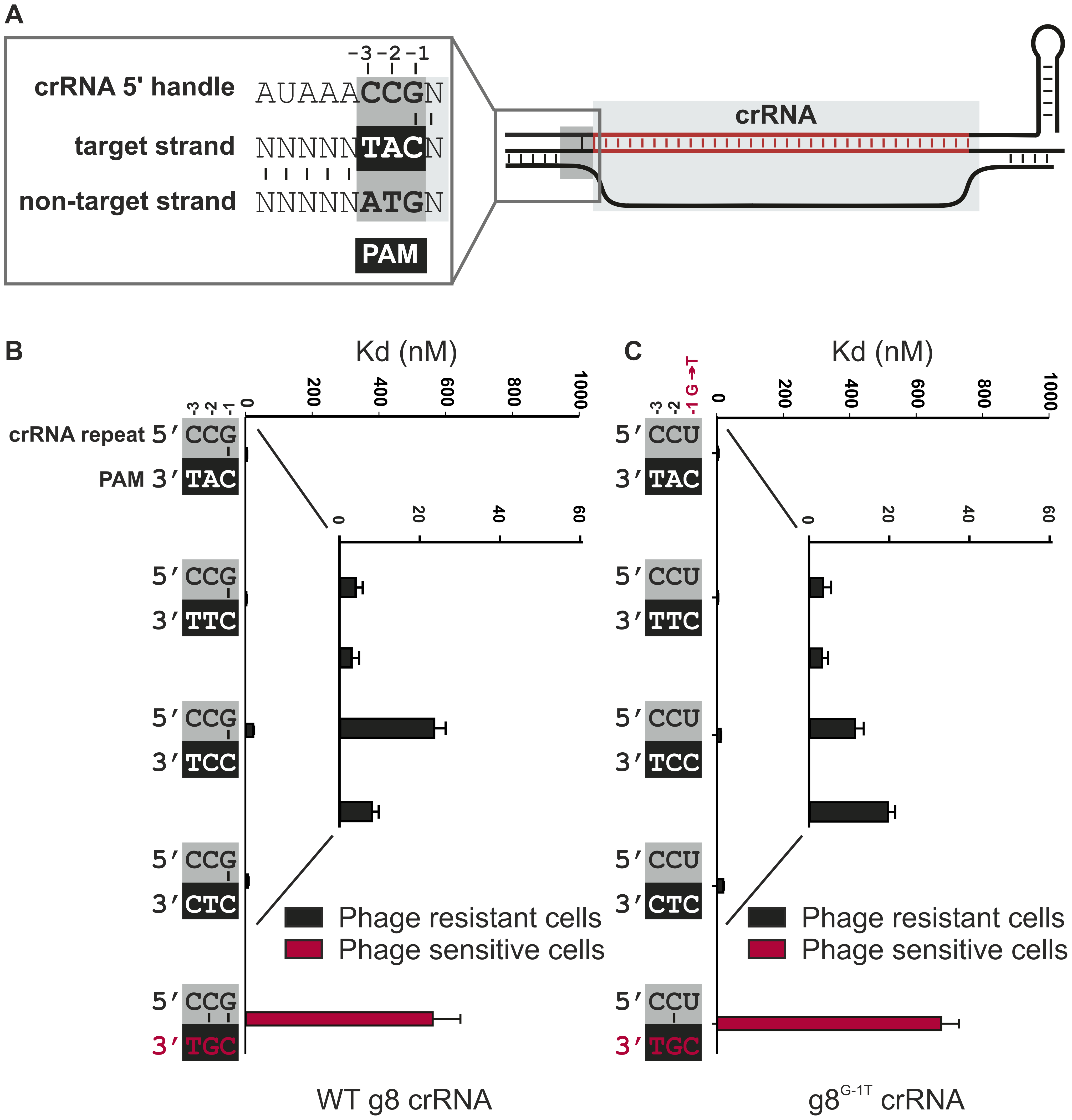 Base pairing at the −1 position is not required for CRISPR-interference.
