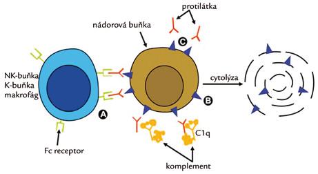 Mechanizmus účinku monospecifických monoklonálních protilátek.