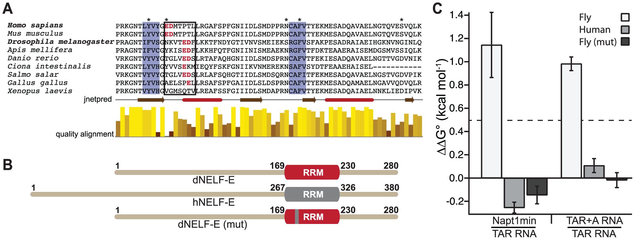A humanized dNELF-E reveals an amino acid region that contributes to dNELF-E RNA recognition.