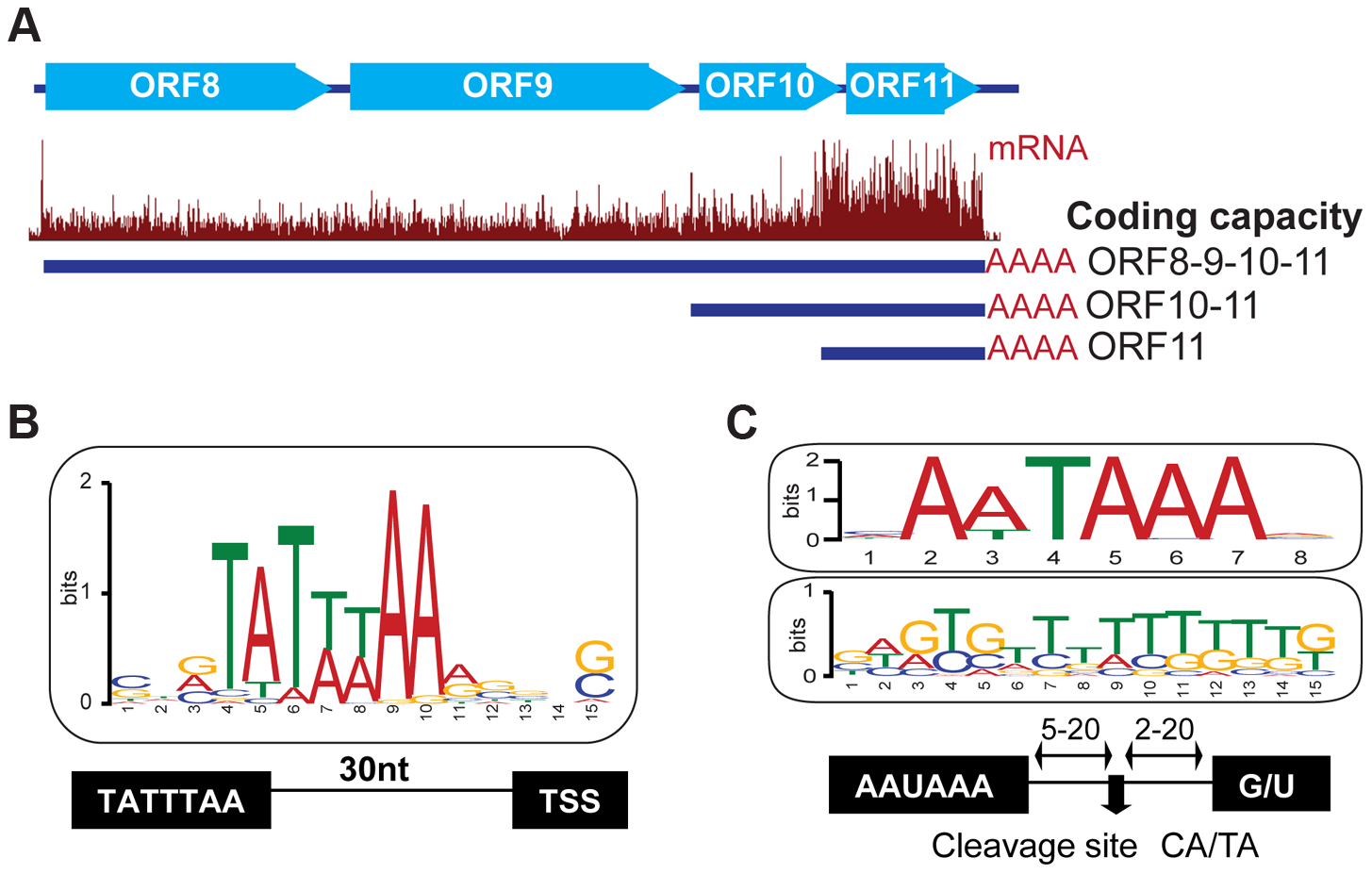 Host cis-regulatory elements are conserved in viral transcripts.