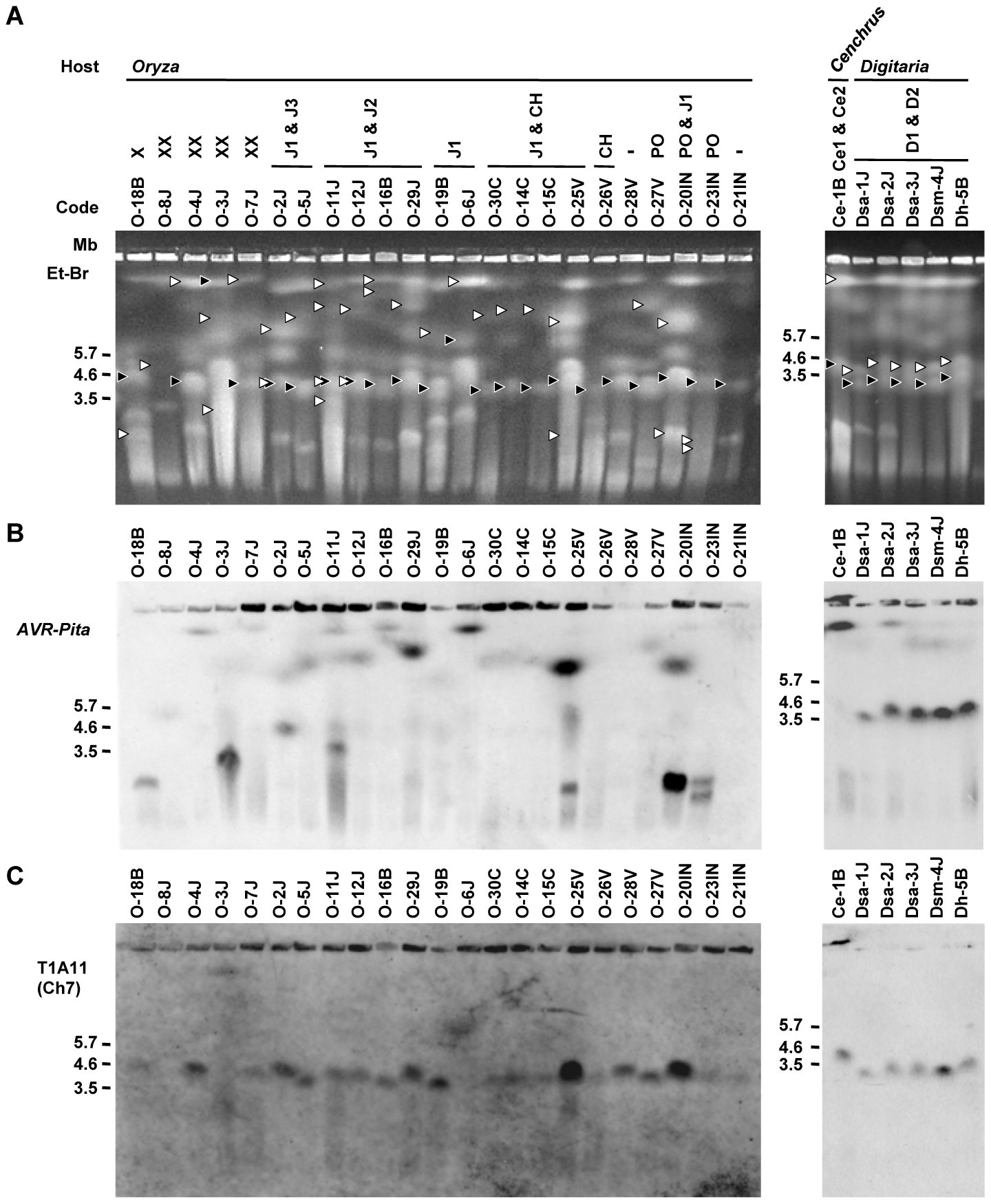 CHEF-Southern analyses of chromosomal locations of <i>AVR-Pita</i> homologs in <i>Pyricularia</i> isolates.