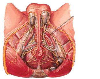 Nervus pudendus a Alcockův kanál [47].