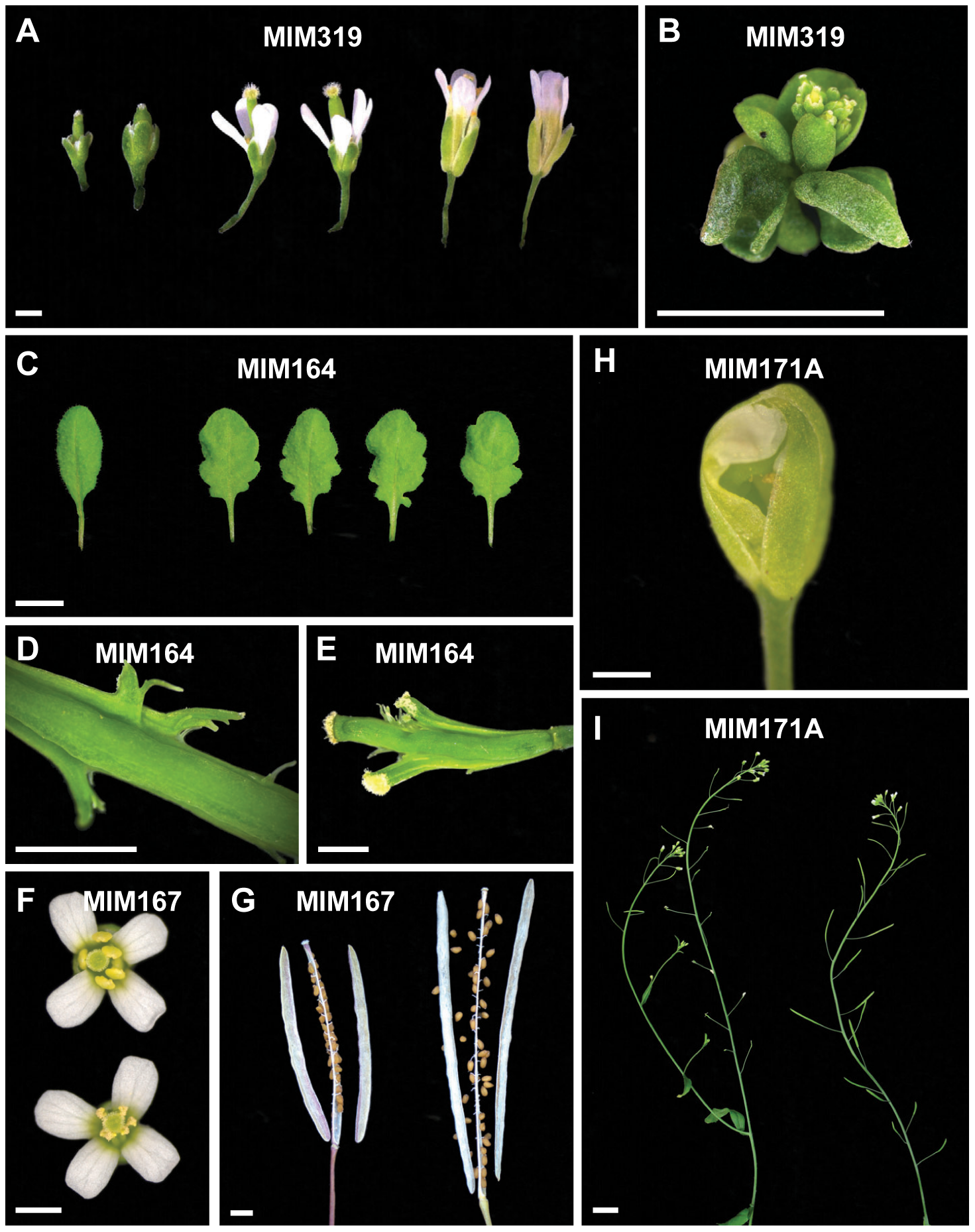Details of defects observed in target mimic expressing plants.