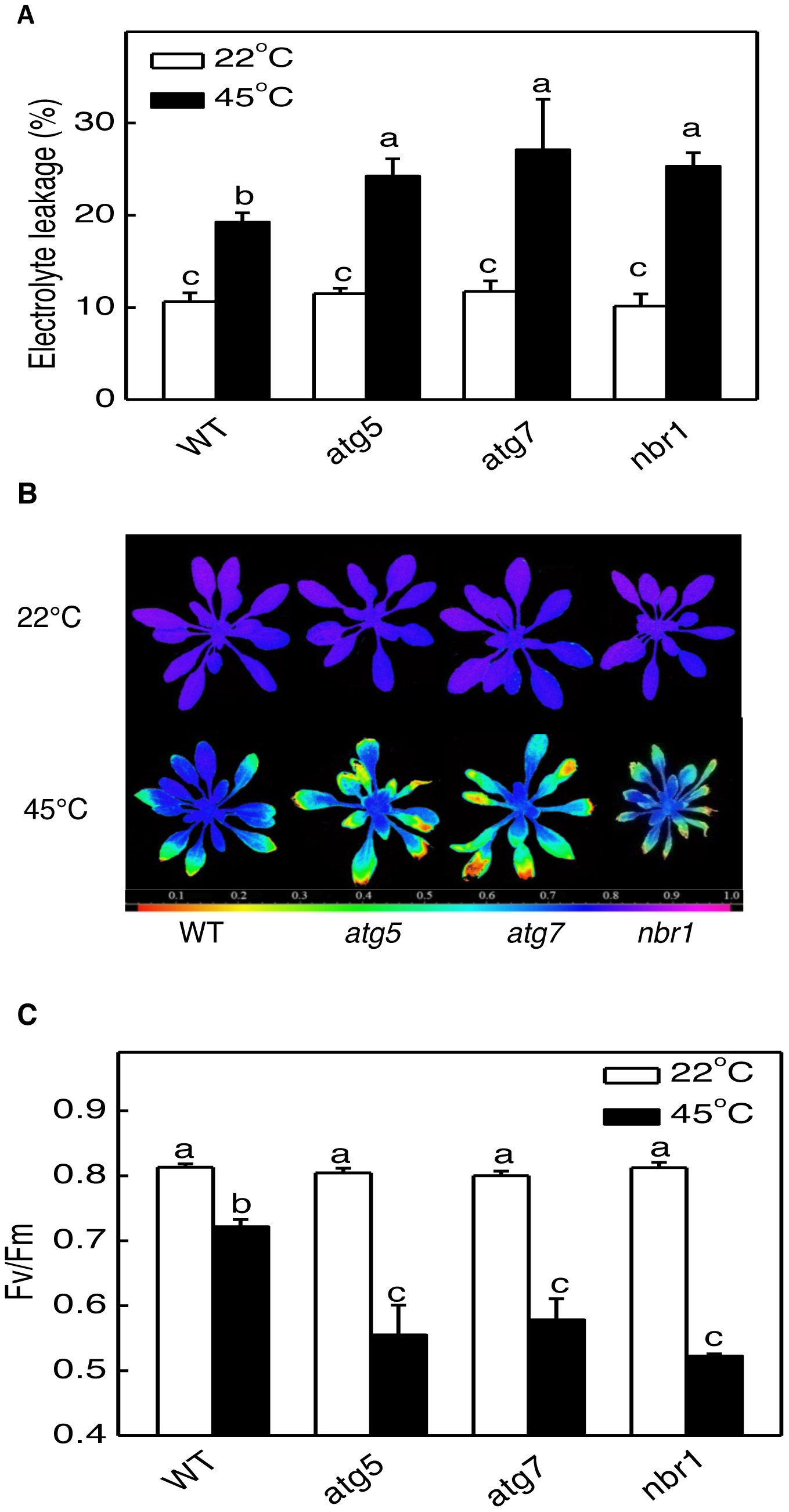 Enhanced sensitivity of <i>atg5</i>, <i>atg7</i>, and <i>nbr1</i> mutants to heat stress.
