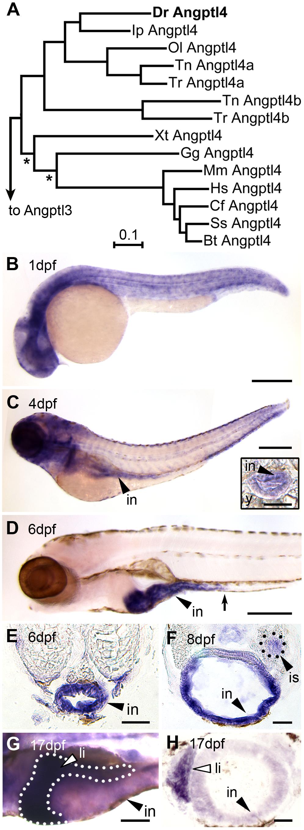 Tissue-specific expression of zebrafish <i>angptl4</i> mRNA.