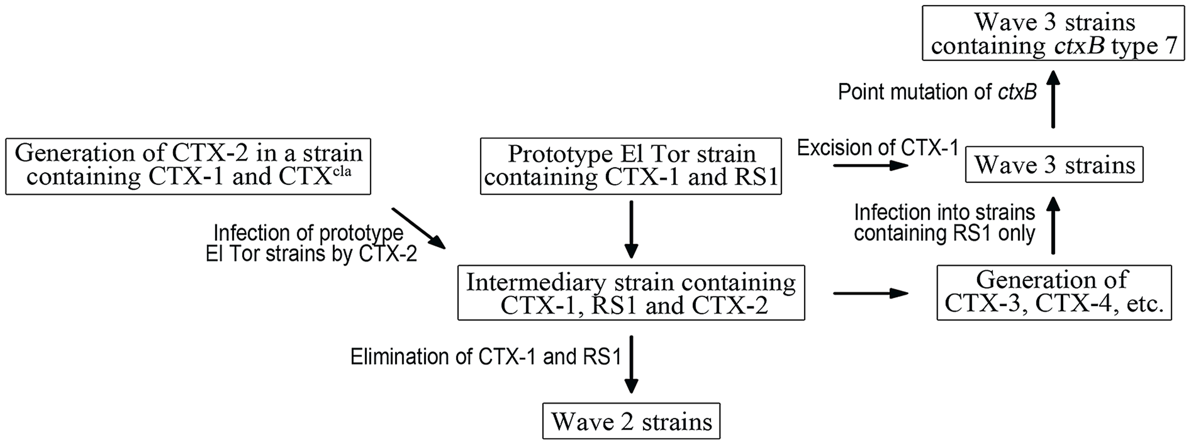 A model of the generation of Wave 2 and Wave 3 strains.