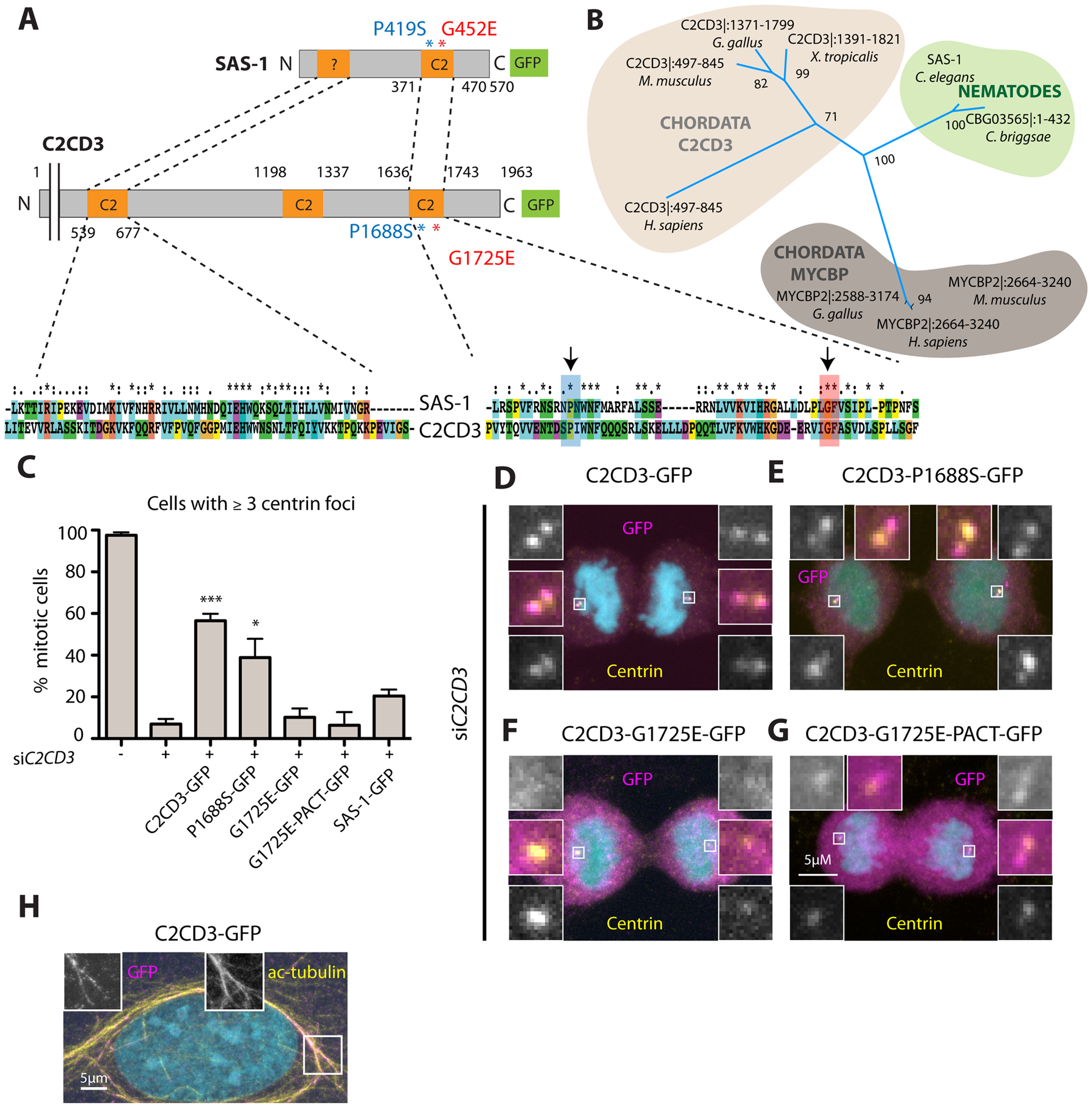 The human SAS-1 homolog C2CD3 is impaired by mutations important for SAS-1 function.