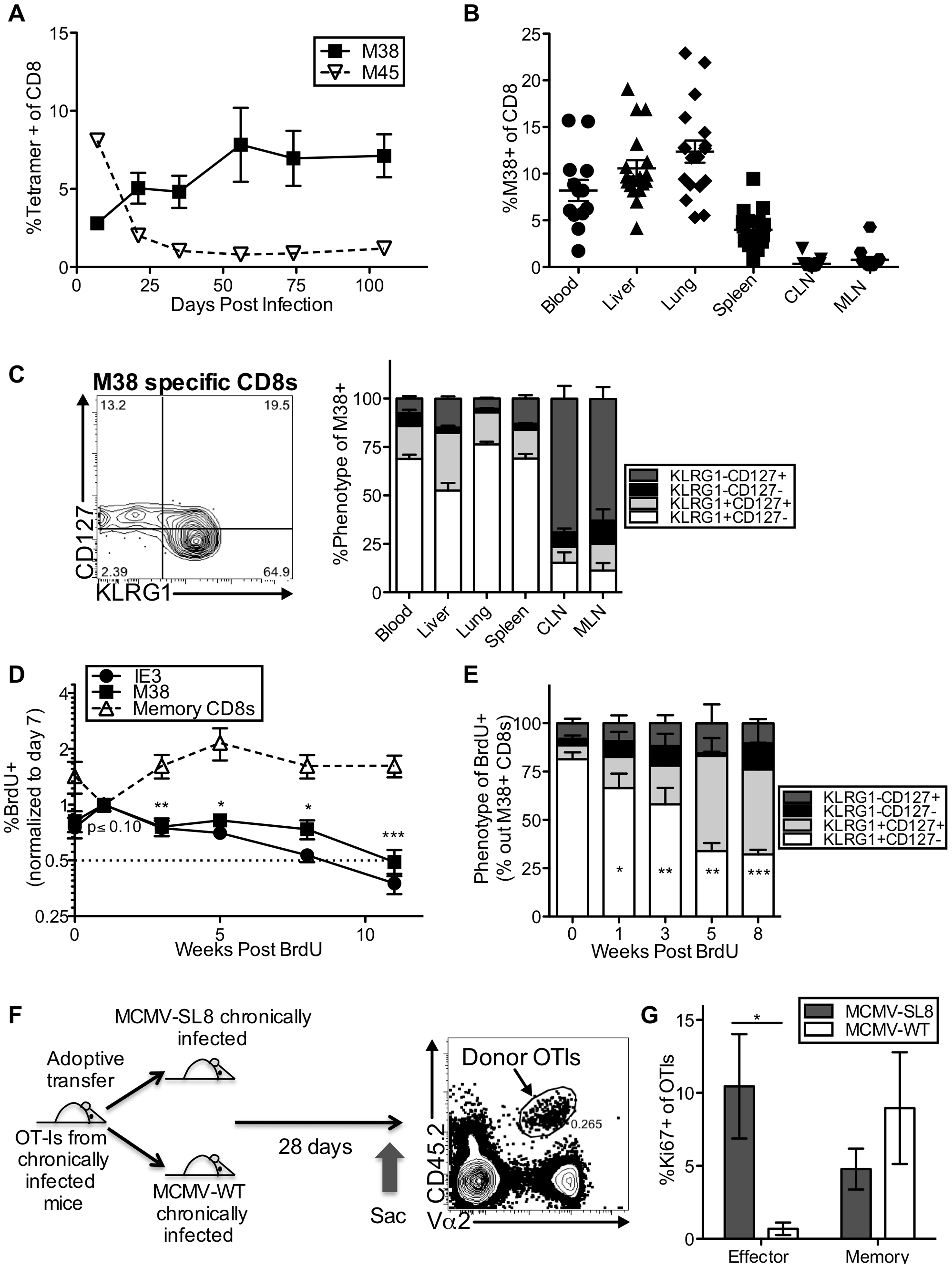Effector-phenotype CD8s turnover continuously and undergo antigen-dependent division during MCMV-induced memory inflation.