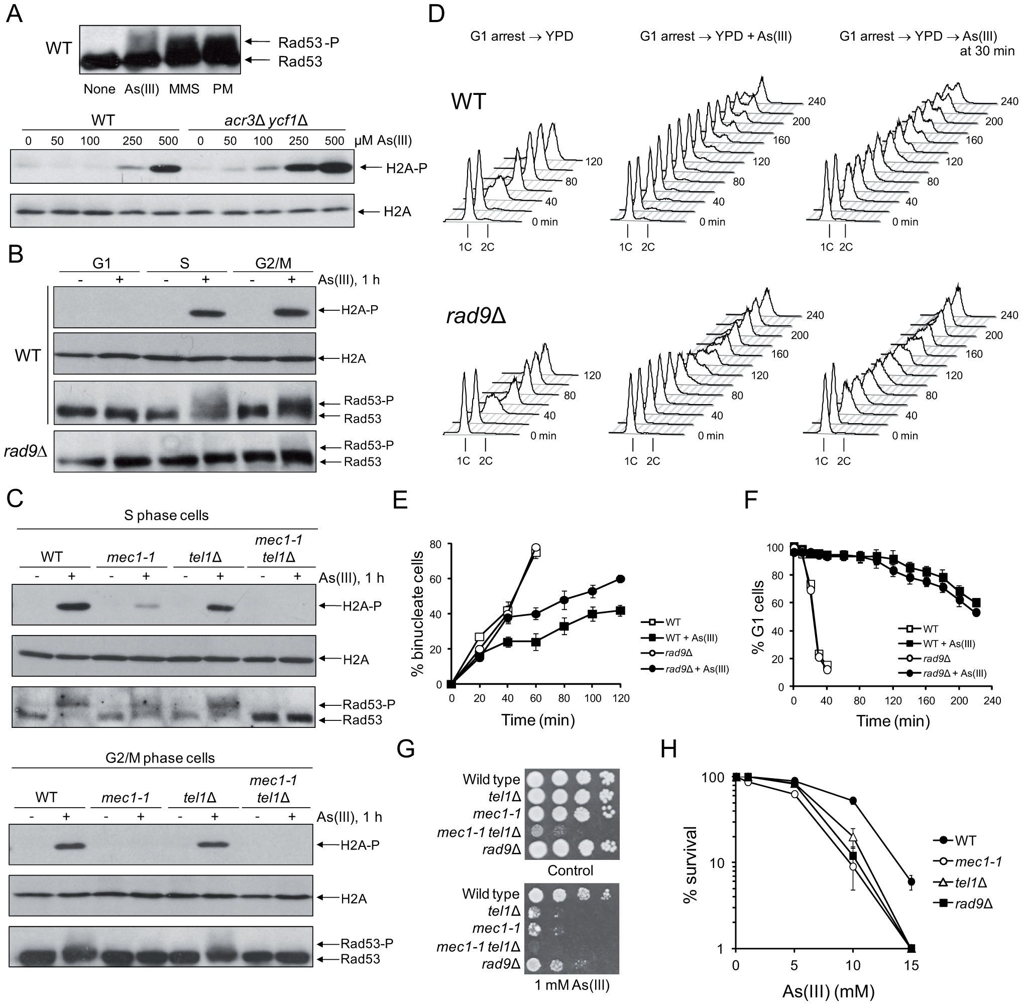 Cell cycle phase-dependent activation of DNA damage checkpoints by As(III) in budding yeast.