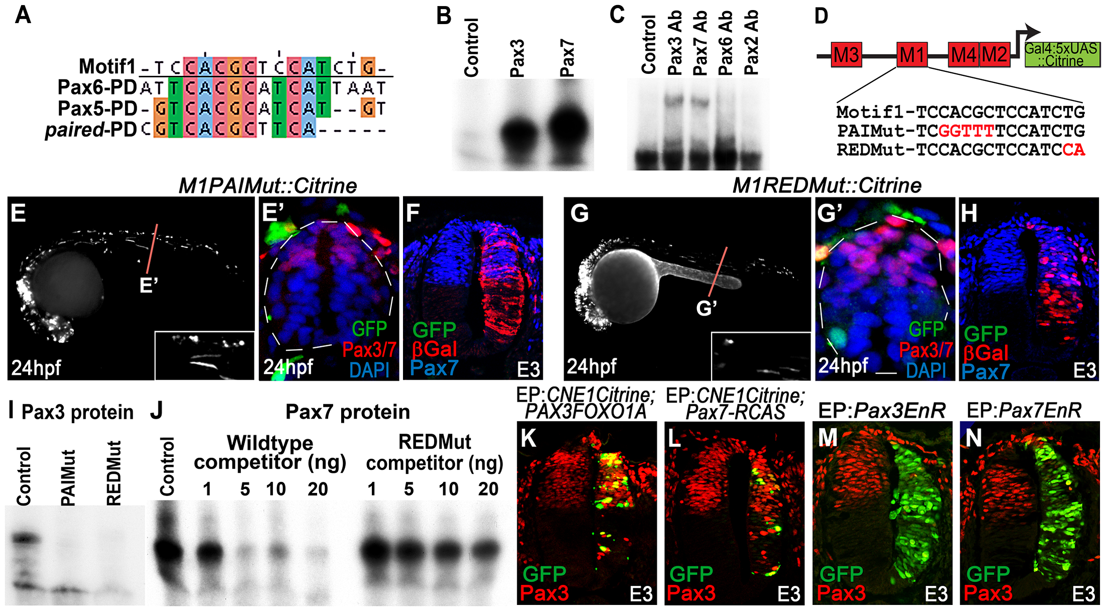 CNE1 mediates direct autoregulation and positive feedback via a paired domain binding site.
