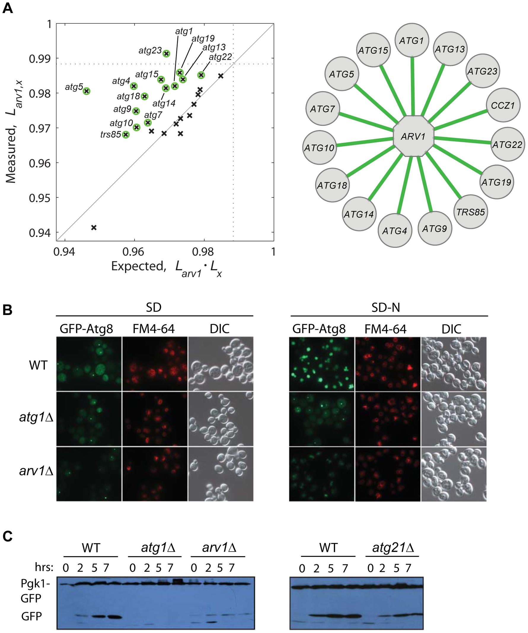 Functional link between autophagy and Arv1 underlies CLS.