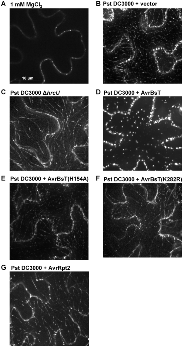 AvrBsT alters GFP-ACIP1's localization in a catalytic-dependent manner.