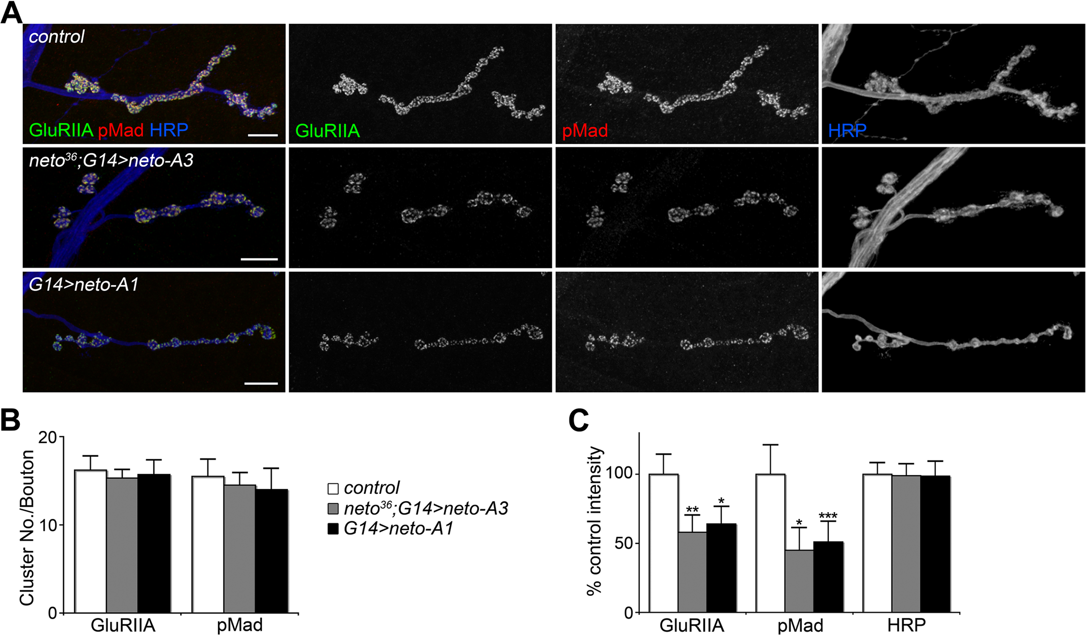 High Neto levels affect the BMP signaling.