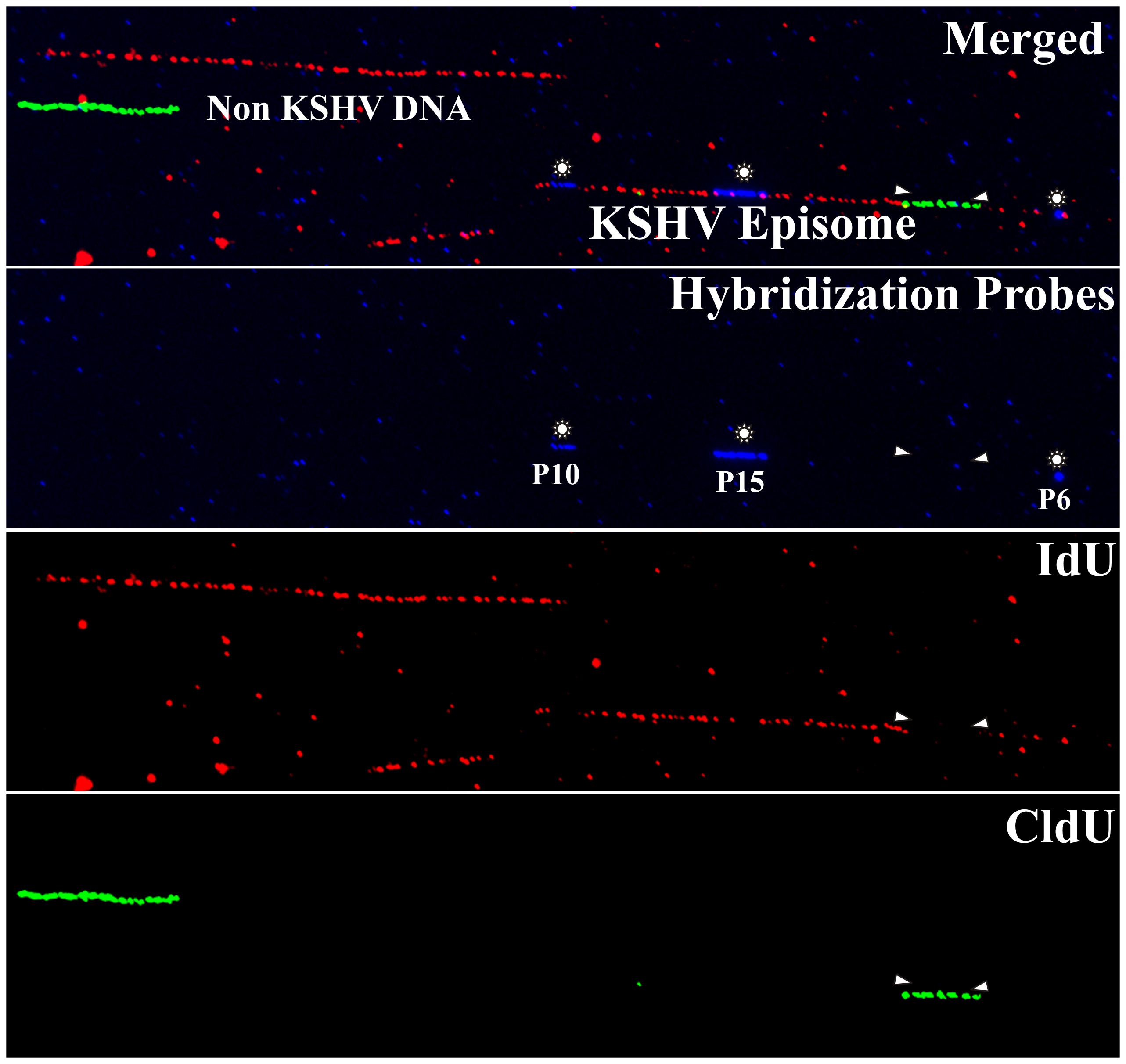 Immuno-staining and fluorescent hybridization of individual KSHV episomes.