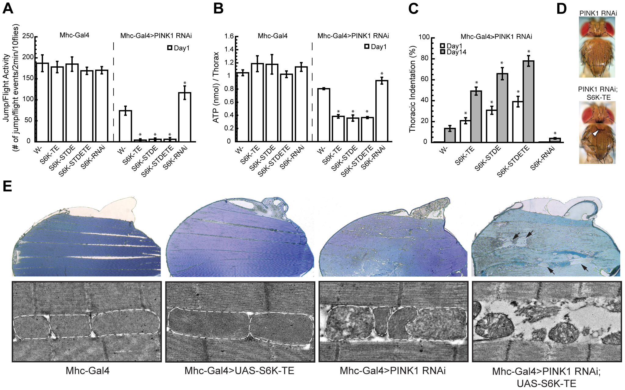 Overexpression or knockdown of S6K strongly modifies <i>PINK1</i> RNAi phenotypes in the muscle.