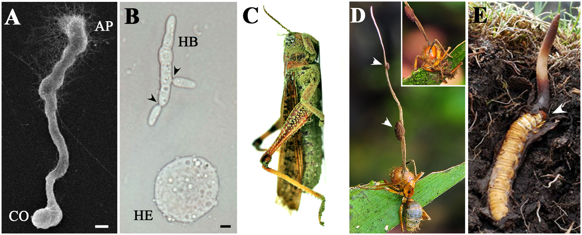 Micro- and macrophenotypes related to fungal infection and colonization of insect hosts.