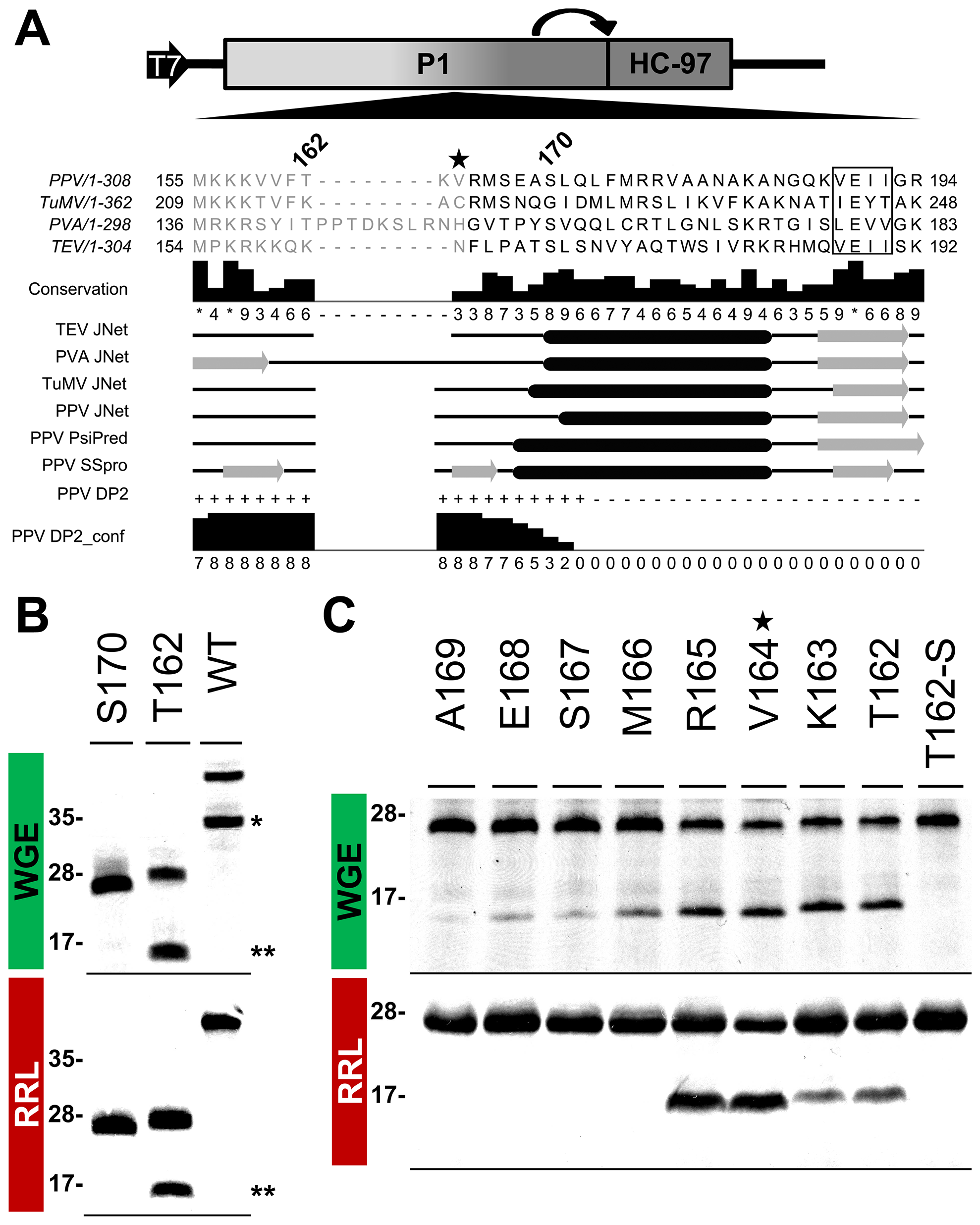 Mapping of P1 minimal protease domain and assessment of cleavage activity in eukaryotic translation systems.