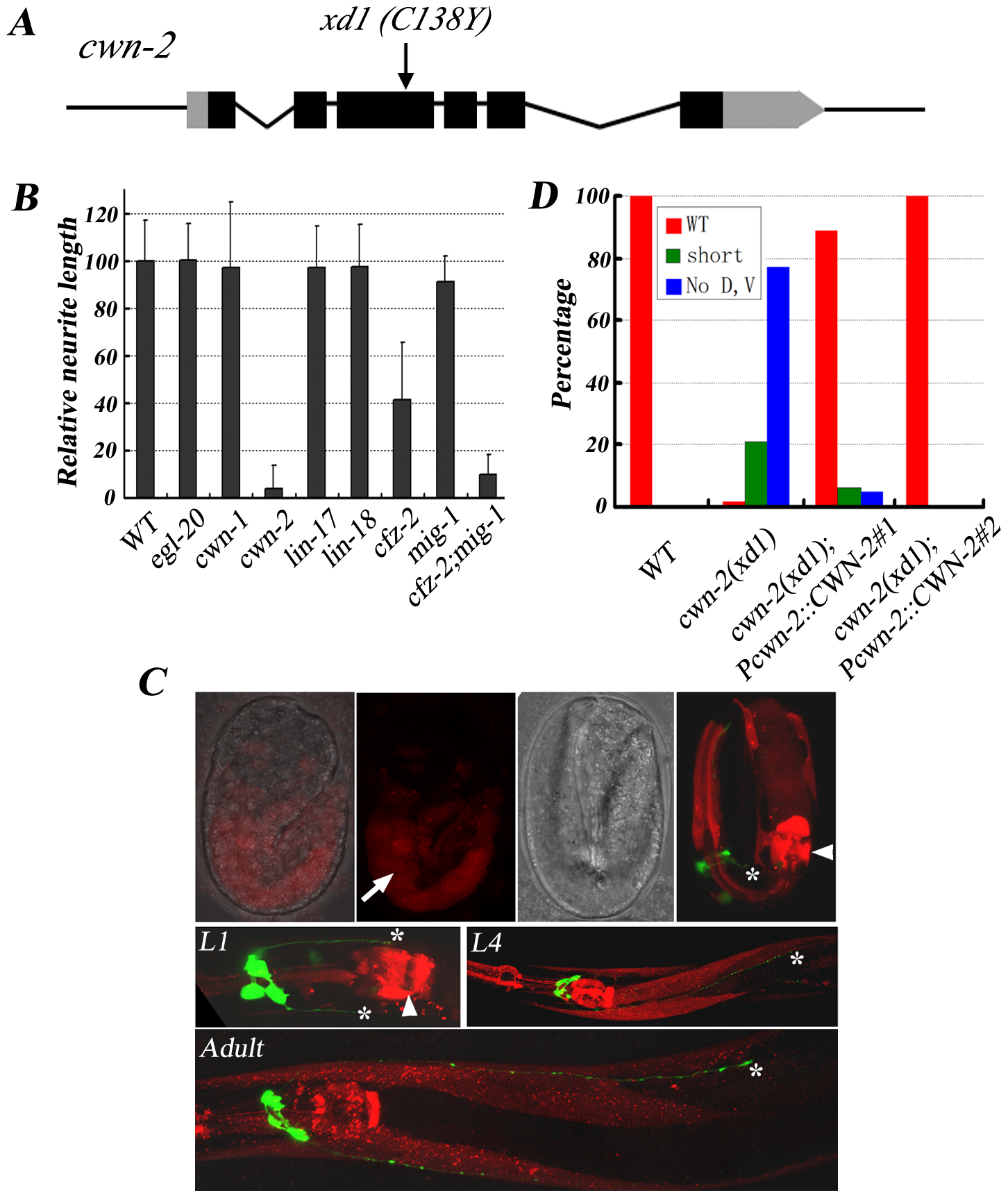 <i>cwn-2</i> regulates RMED/V neurite A/P outgrowth.