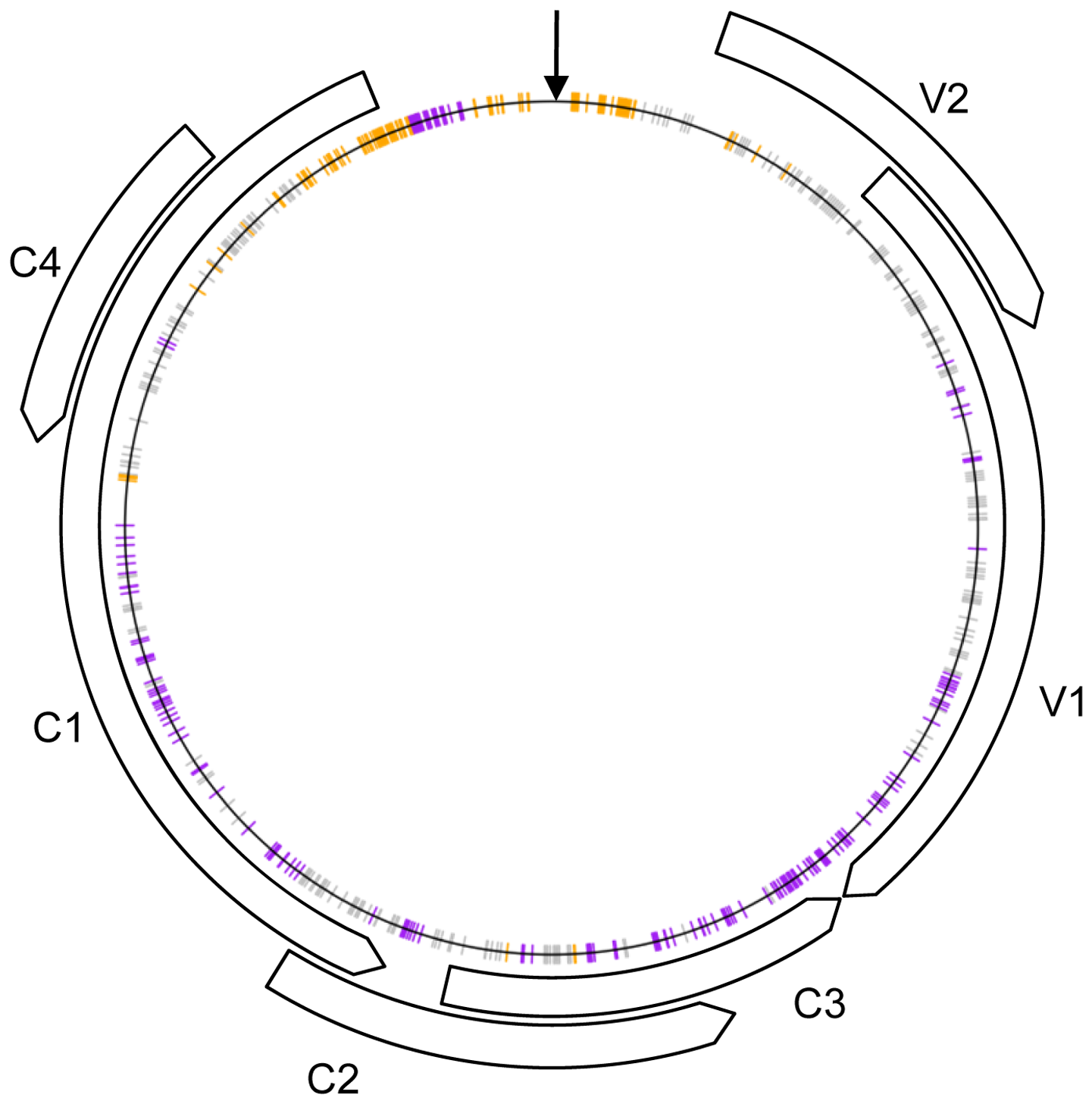 Schematic representation of the recombinant genomes indicating nucleotide positions at which more than expected <i>Tomato yellow leaf curl virus</i> (TYX; orange) or <i>Tomato leaf curl Comoros virus</i> (TOX; purple) derived nucleotides are found (<i>p</i>-value&lt;0.001) under the assumption of random recombination.