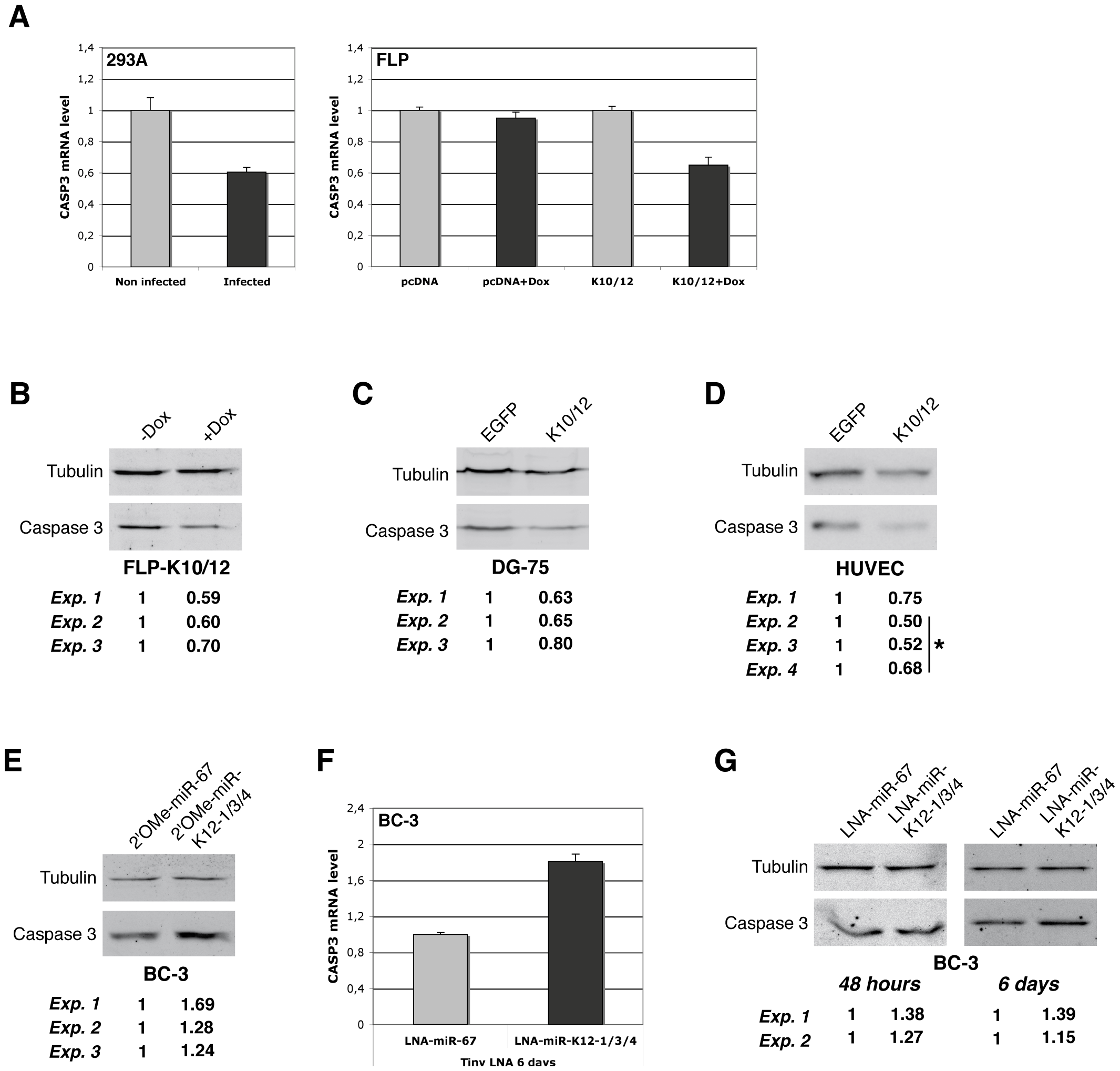 Endogenous Casp3 is regulated by KSHV miRNAs in different cell lines.