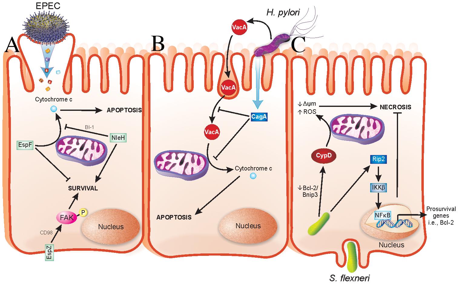 Strategies evolved by bacterial pathogens to restrain virulence.
