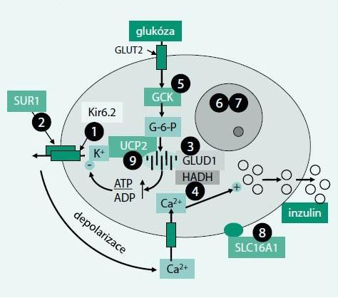 Schéma 1. Funkční schéma B-buňky s vyznačením možných příčin vrozeného hyperinzulinizmu