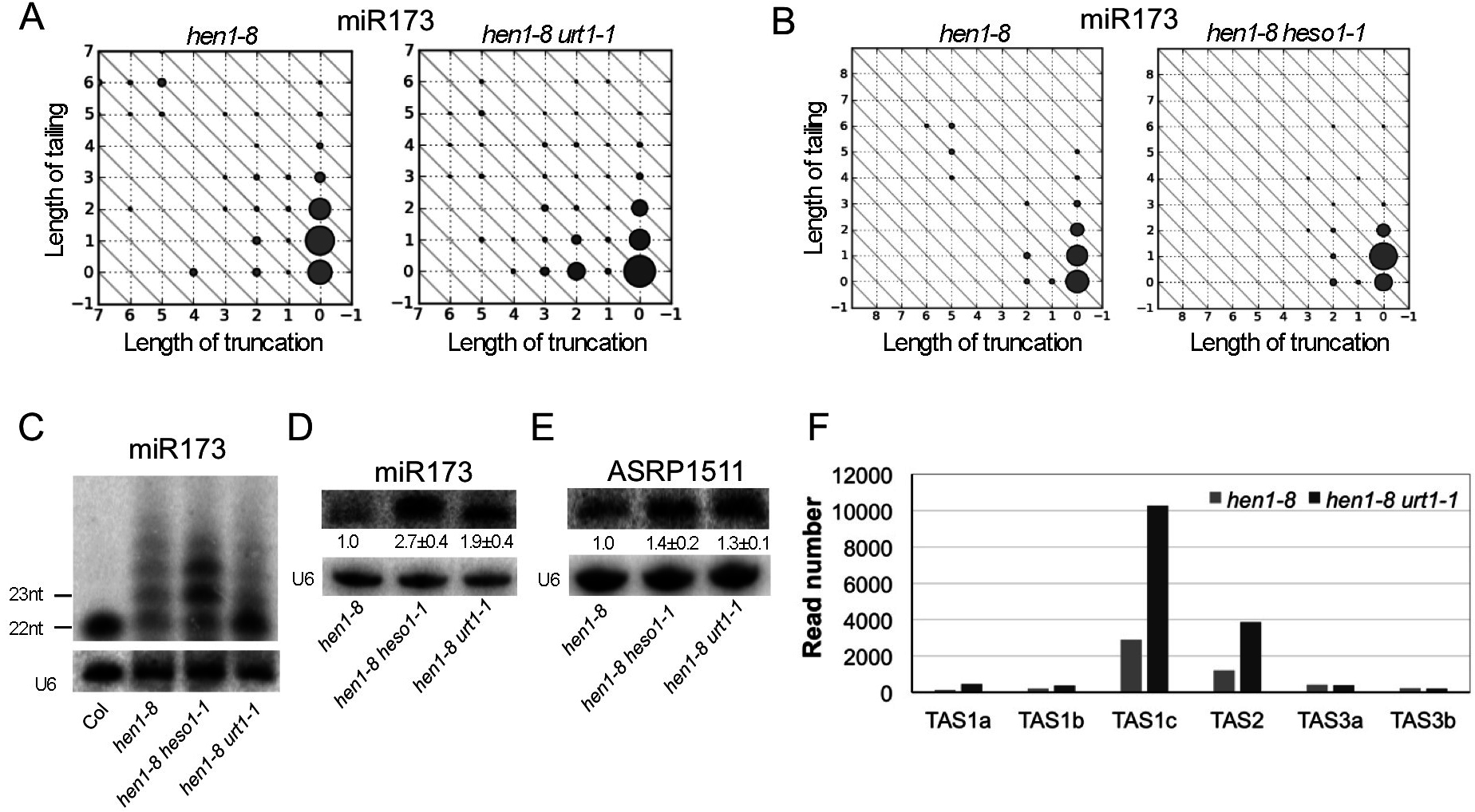 Sequential tailing of miR173 in <i>hen1</i> by URT1 and HESO1 and its impacts on ta-siRNA biogenesis.
