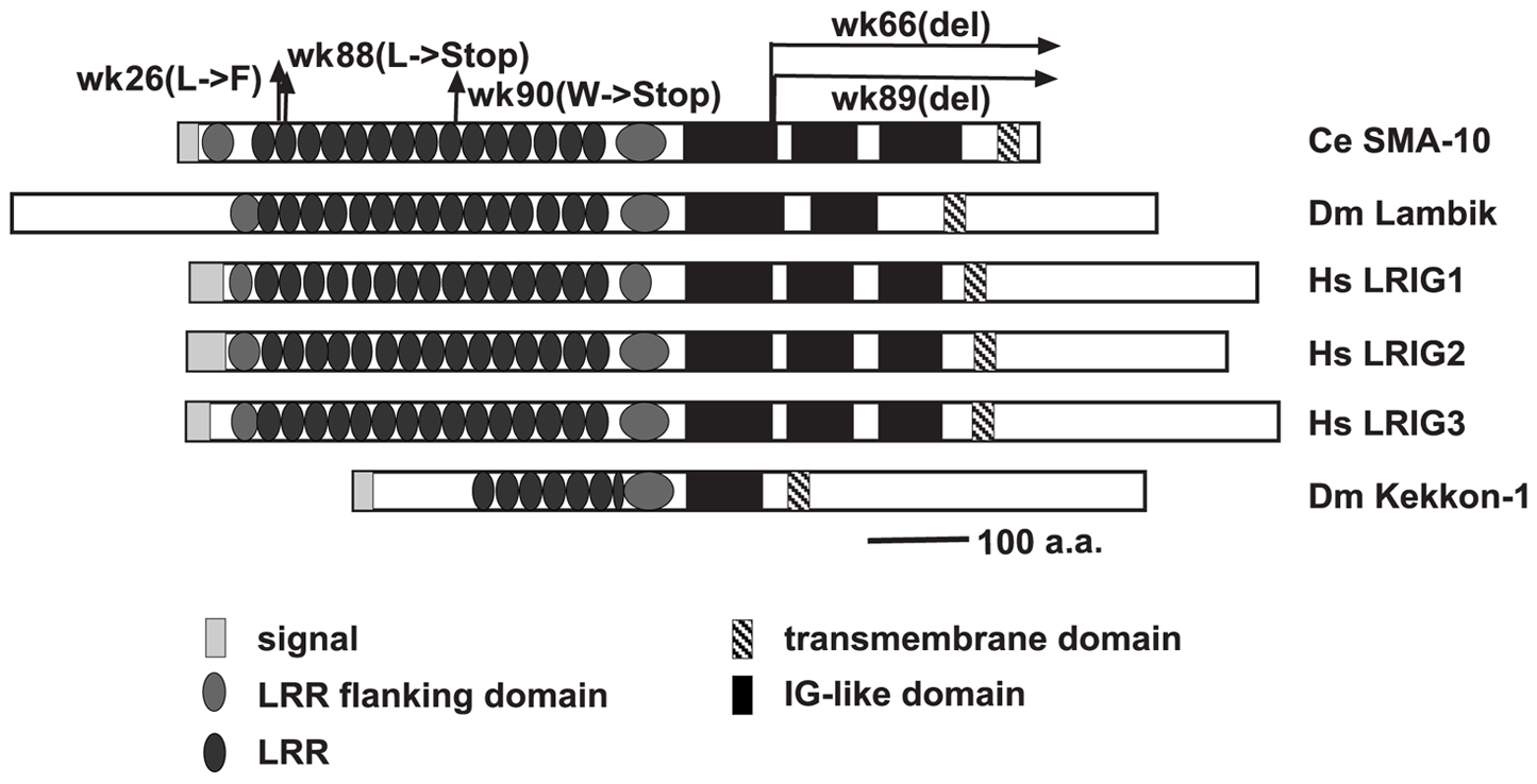 Structural comparison of SMA-10 to <i>Drosophila</i> Lambik and mammalian LRIGs.