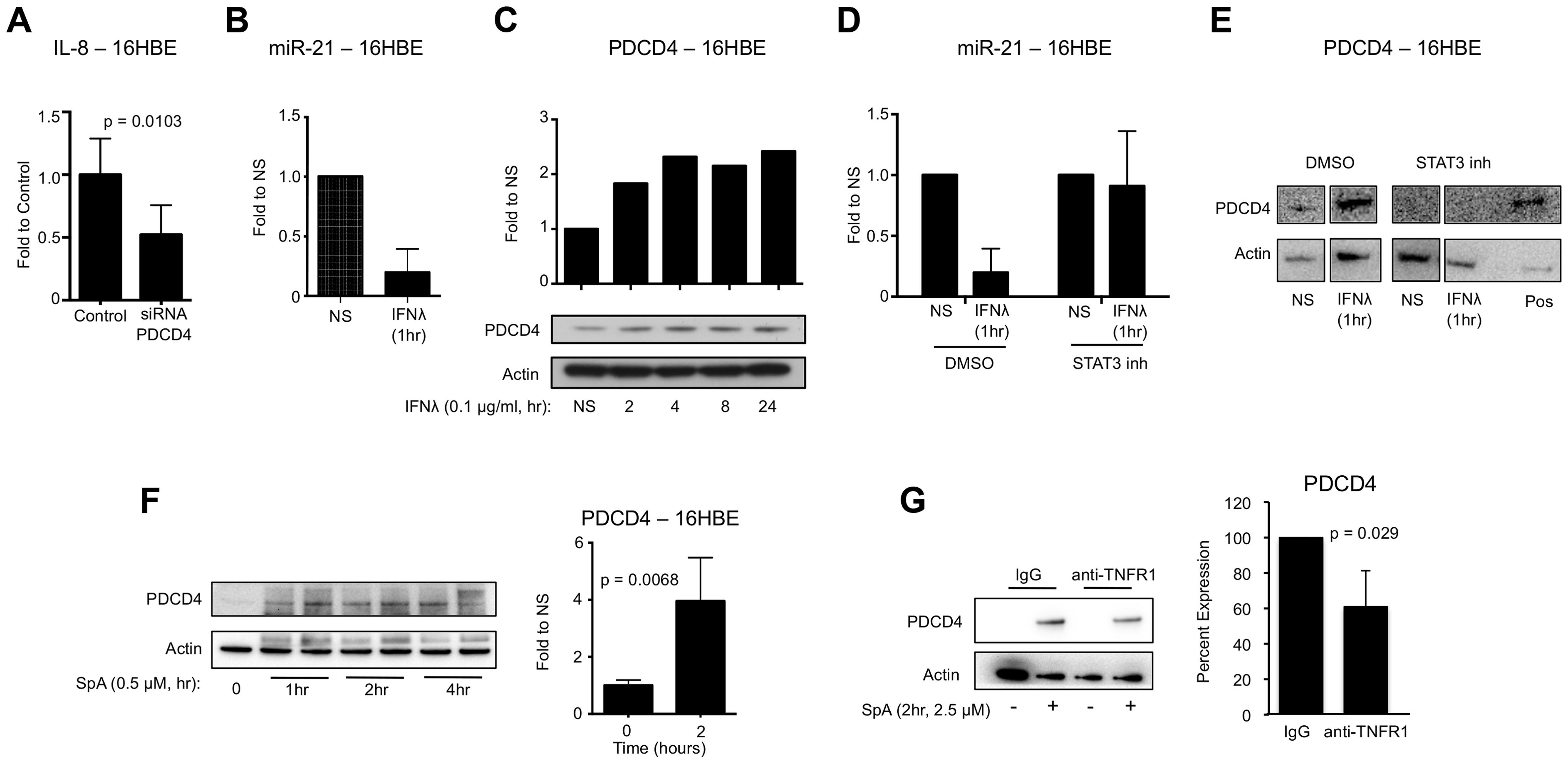 IFNλ regulation of miR-21 and PDCD4.