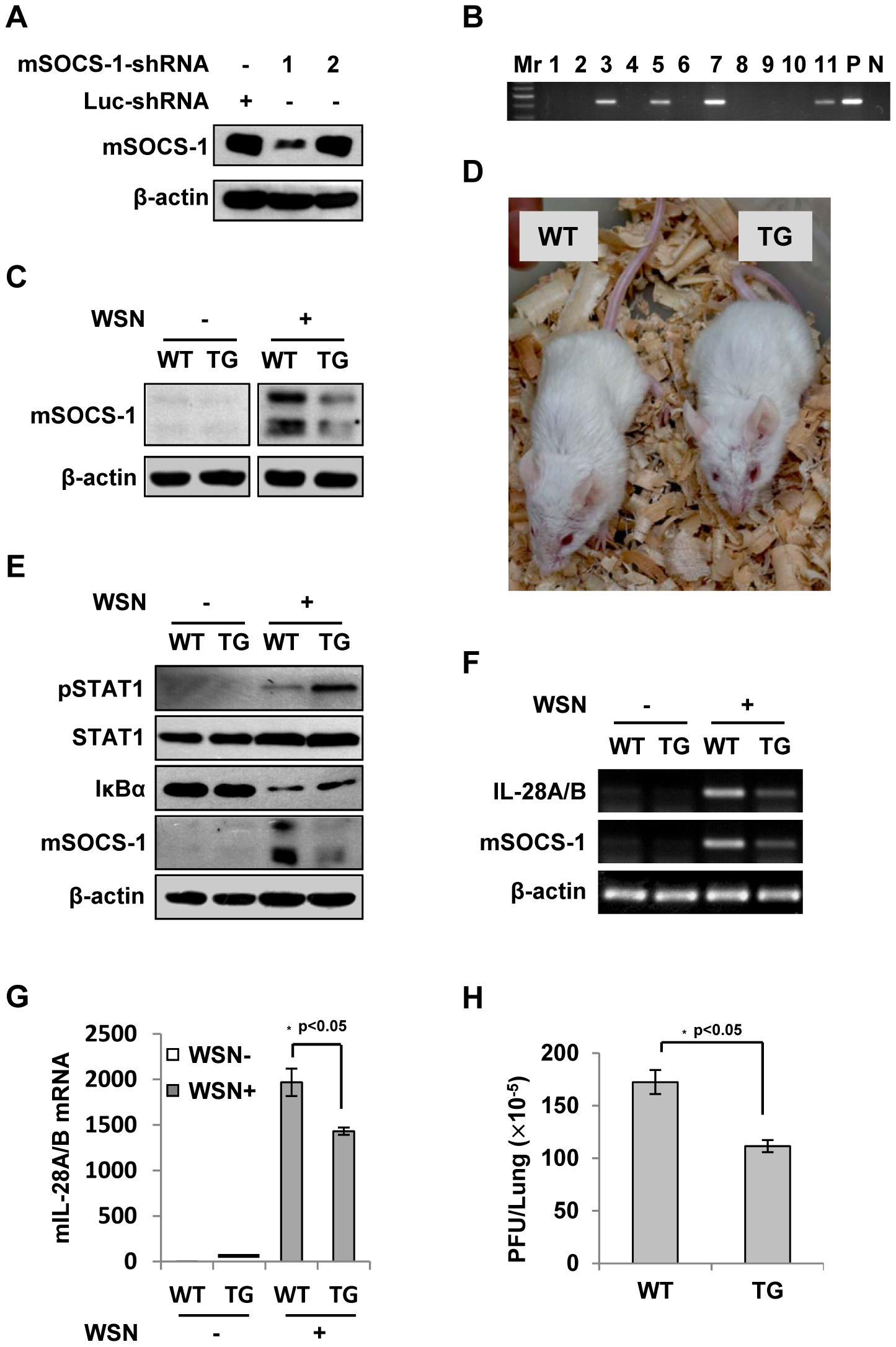 Silencing SOCS-1 causes a significant reduction of IFN-λ expression in transgenic mice during IAV infection.
