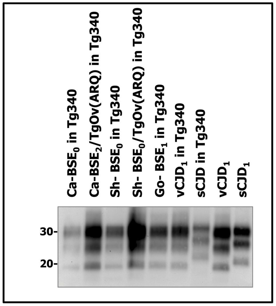 Western blots analysis of PrP<sup>res</sup> in the brains of tg340 mice infected with human, bovine, ovine and goat isolates.