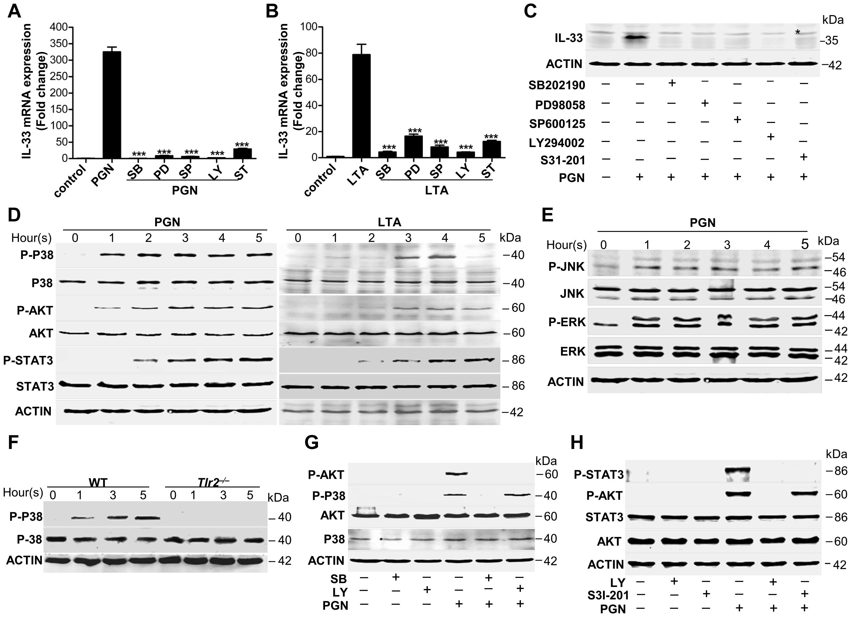 <i>Staphylococcus aureus</i> activates MAPKs-AKT-STAT3 signaling to induce IL-33.