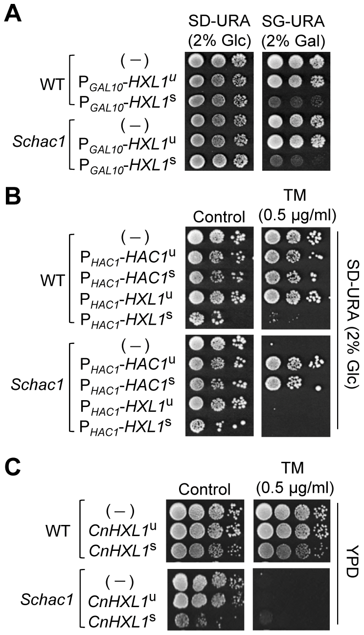 Heterologous expression analysis of <i>C. neoformans HXL1</i> in <i>S. cerevisiae hac1</i> mutants.