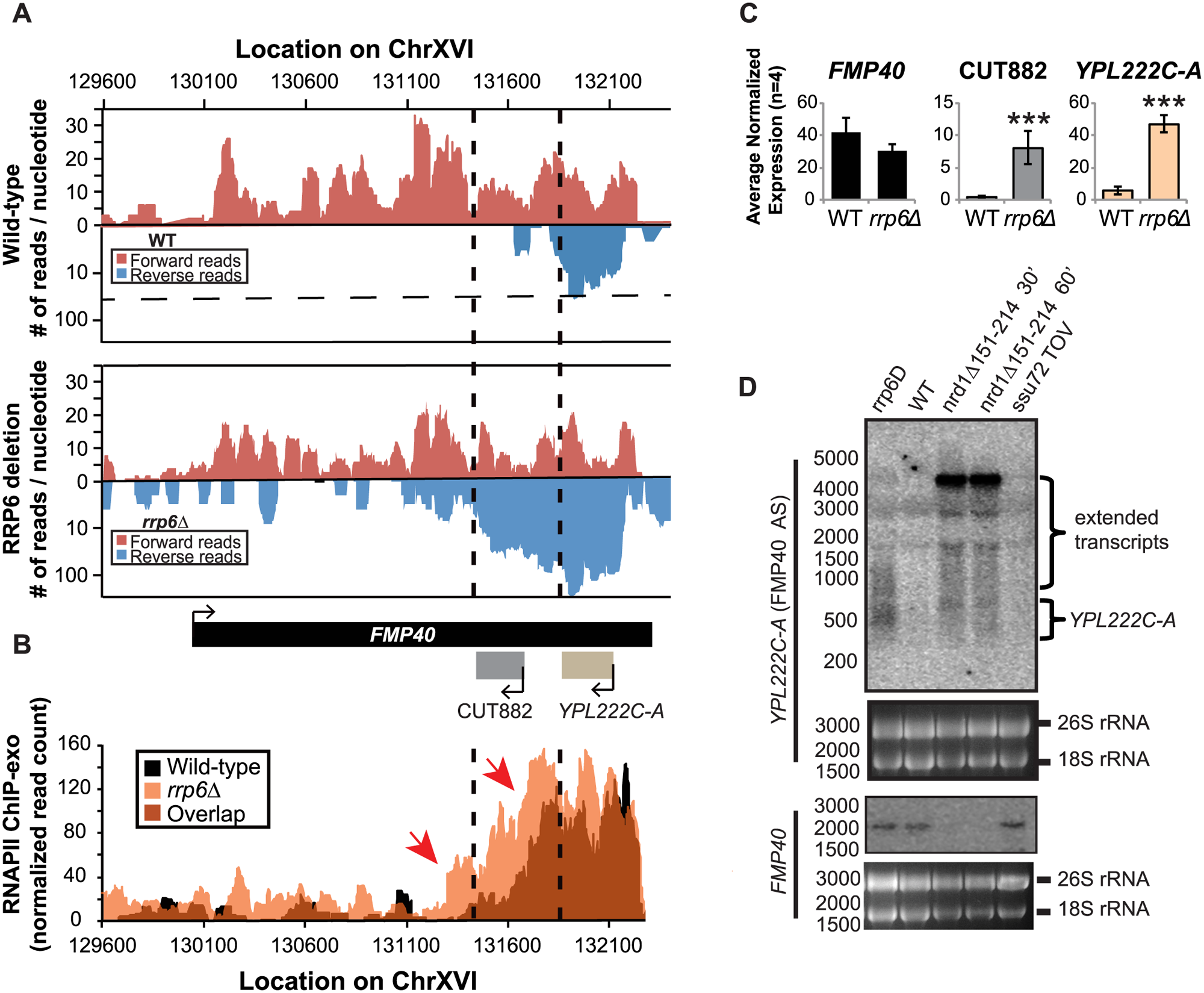 The <i>FMP40</i> antisense transcript <i>YPL222C-A</i> is extended in <i>rrp6Δ</i> deletion cells as a result of inefficient RNAPII termination.