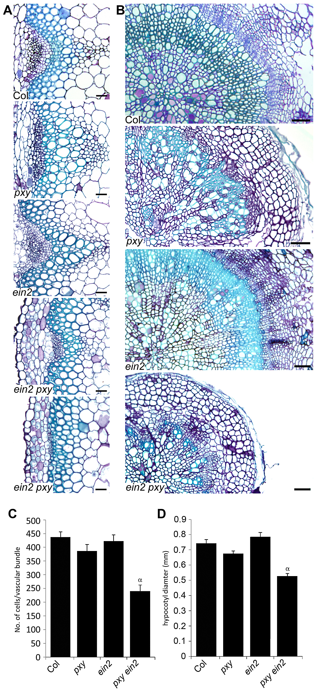 Analysis of vascular cell division in <i>ein2</i> and <i>pxy</i> mutant combinations.