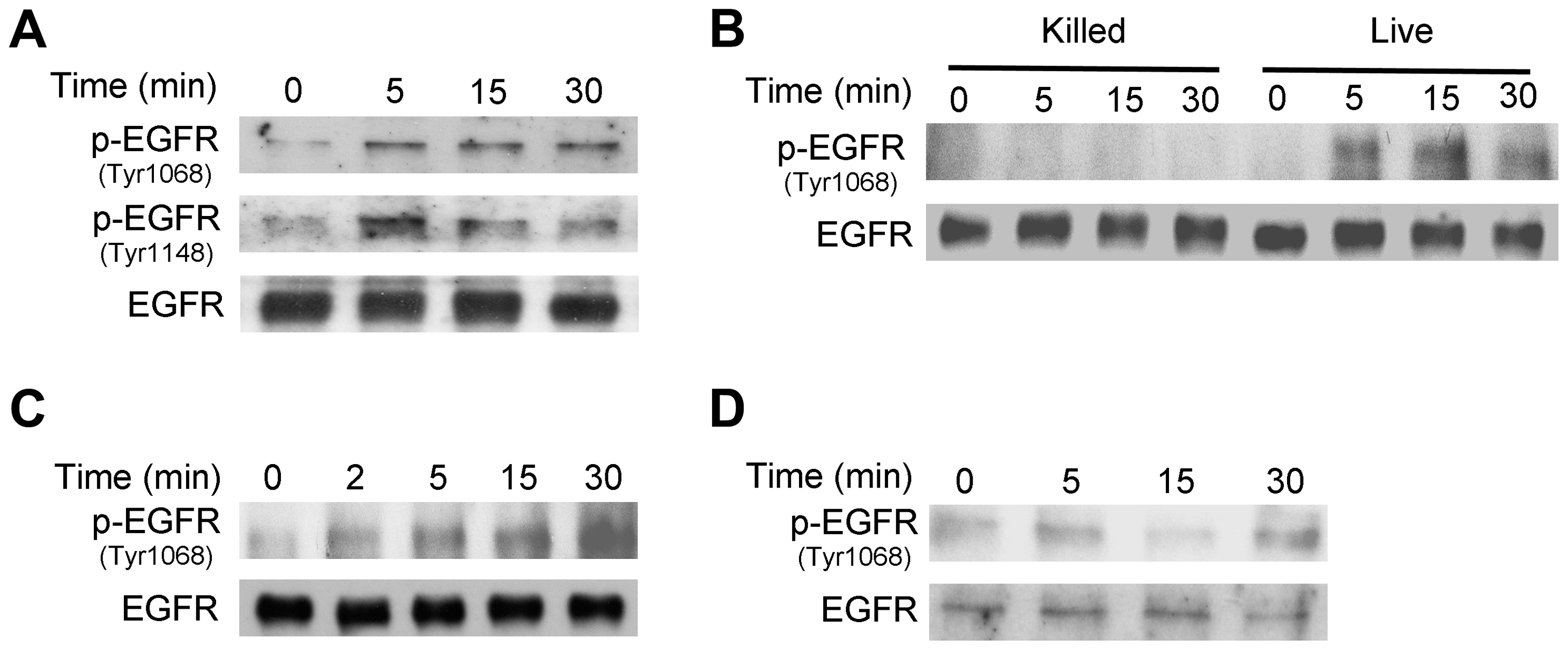 <i>T. gondii</i> infection induces EGFR activation in mammalian cells.