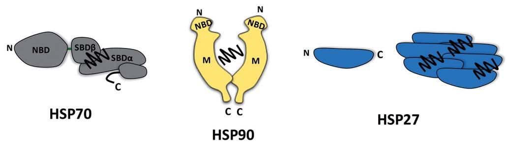 Molekulární chaperony HSP70, HSP90 a HSP27. Molekulární chaperony HSP70 a HSP90 se vyznačují vícedoménovou strukturou. Vazba ATP do NBD (nucleotide-binding domain) chaperonu HSP70 vede k alosterickým změnám v SBDαβ (substrate-binding domain), které ovlivňují uvolňování navázaného substrátu (vlnovka). Protein HSP90 tvoří konstitutivní dimer. Substrát vázající místo není u tohoto chaperonu přesně definováno, avšak konformační změny HSP90 jsou indukovány vazbou ATP do NBD. Struktura HSP90 je dále tvořena střední (middle – M) a C-koncovou doménou (C-terminal domain – C). Chaperon HSP27 náležící k malým HSP proteinům nemá ATPázovou aktivitu a vykazuje homologii k αB-krystalinu. Tento chaperon je schopen tvořit oligomery, které se podílejí na zabraňování tvorby agregátů.