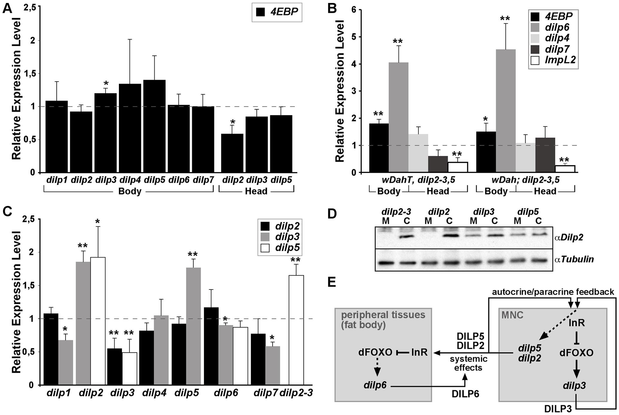 Compensatory regulation of gene expression in <i>dilp</i> mutants.