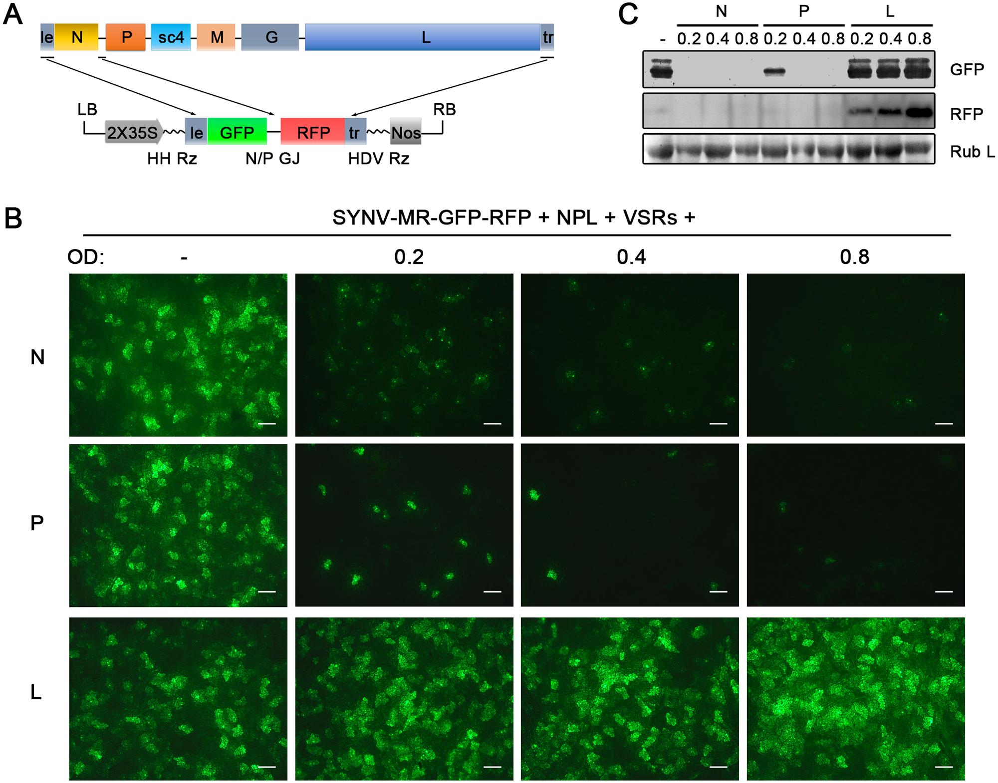 Improvement of SYNV minireplicon (MR) expression by optimizing the core protein ratios.