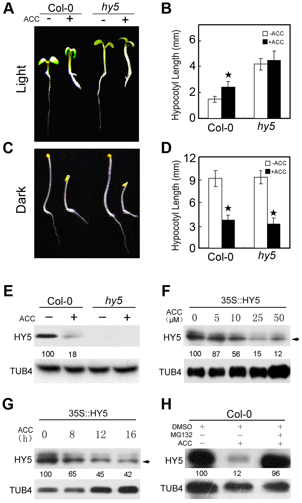 HY5 is required for ethylene-promoted hypocotyl growth in the light.