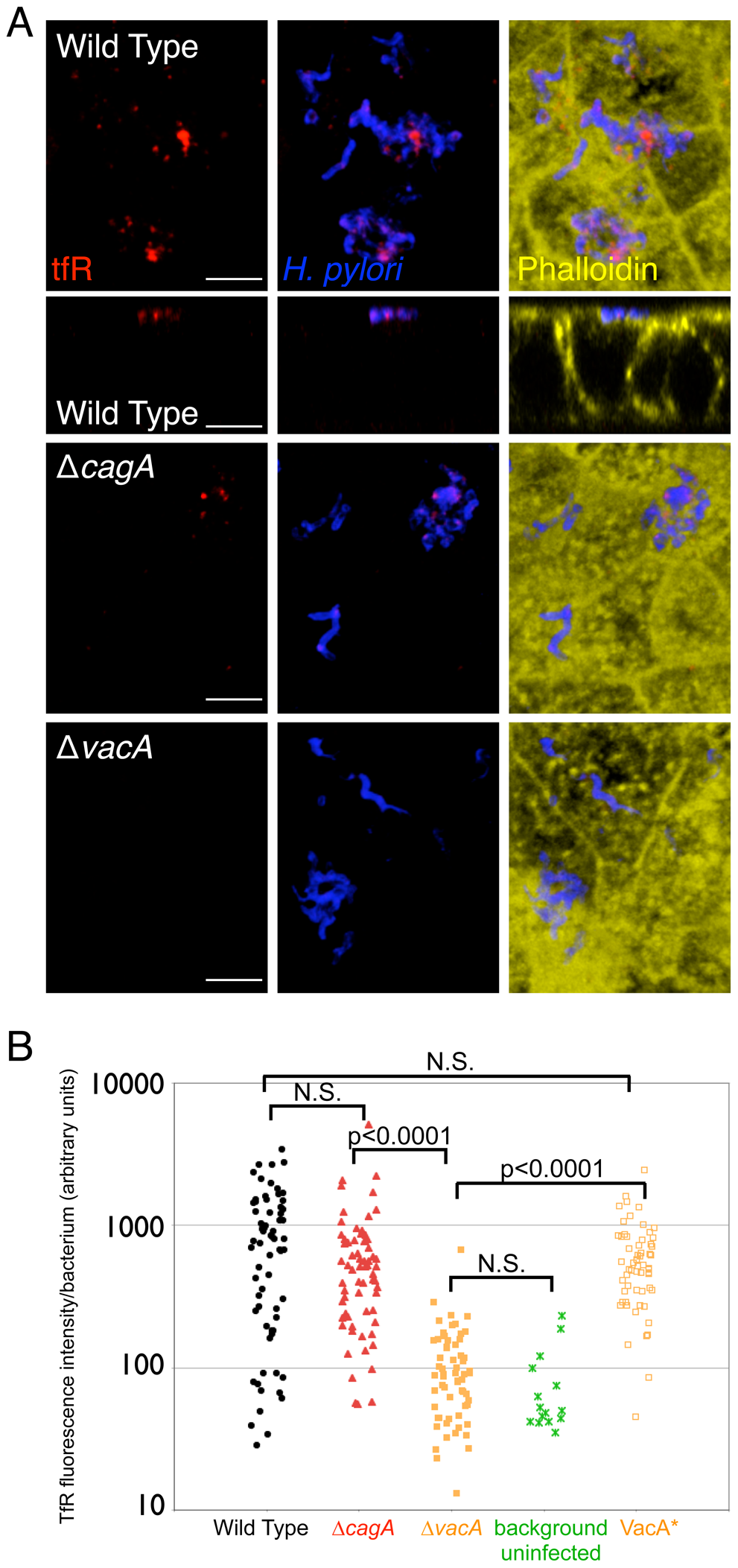 Transferrin receptor is mislocalized apically to sites of bacterial microcolonies.
