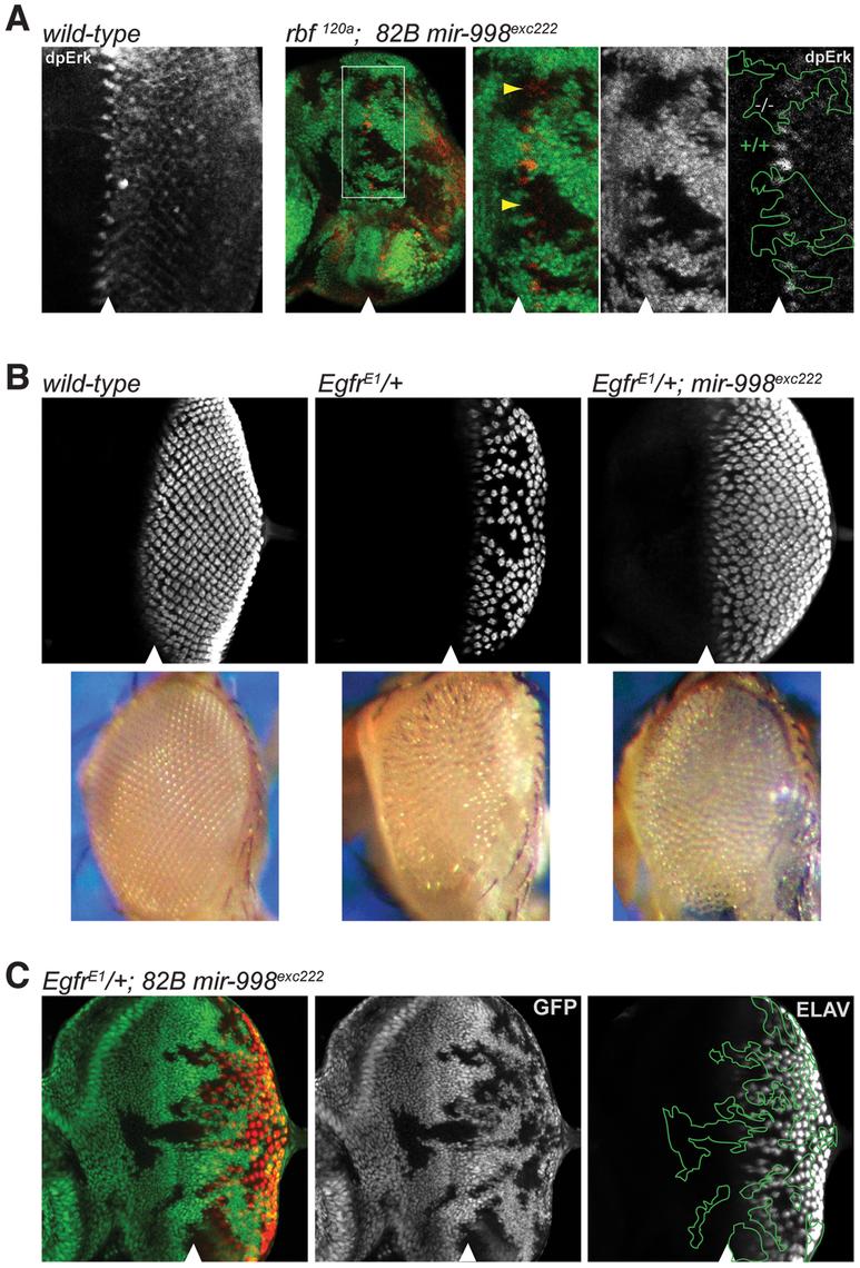 <i>mir-998<sup>exc222</sup></i> suppresses EGFR signaling.