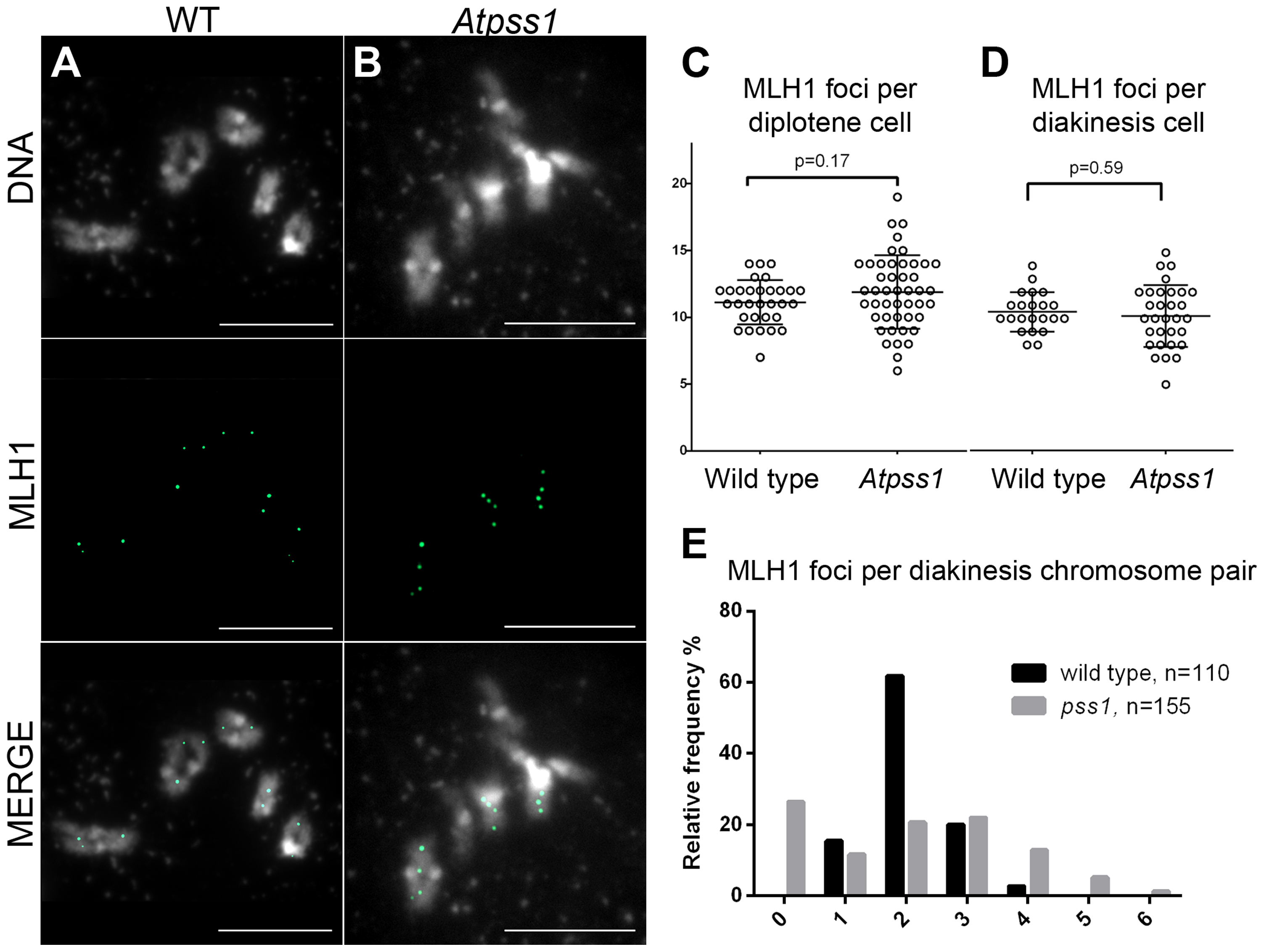 MLH1 immunolocalization.