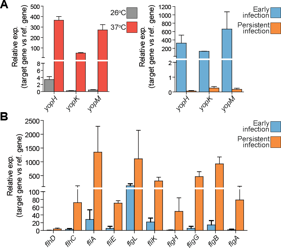 T3SS genes and flagellar genes are differentially regulated during persistent infection.