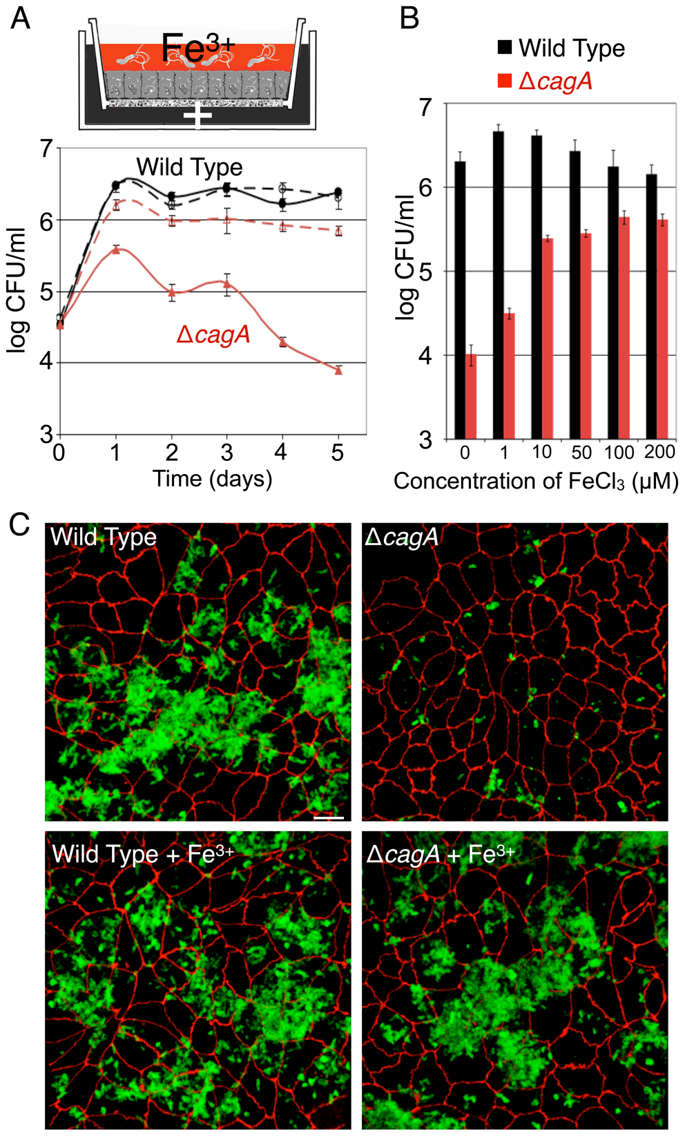 <i>Hp</i> acquires iron from host cells during colonization of the polarized epithelium.