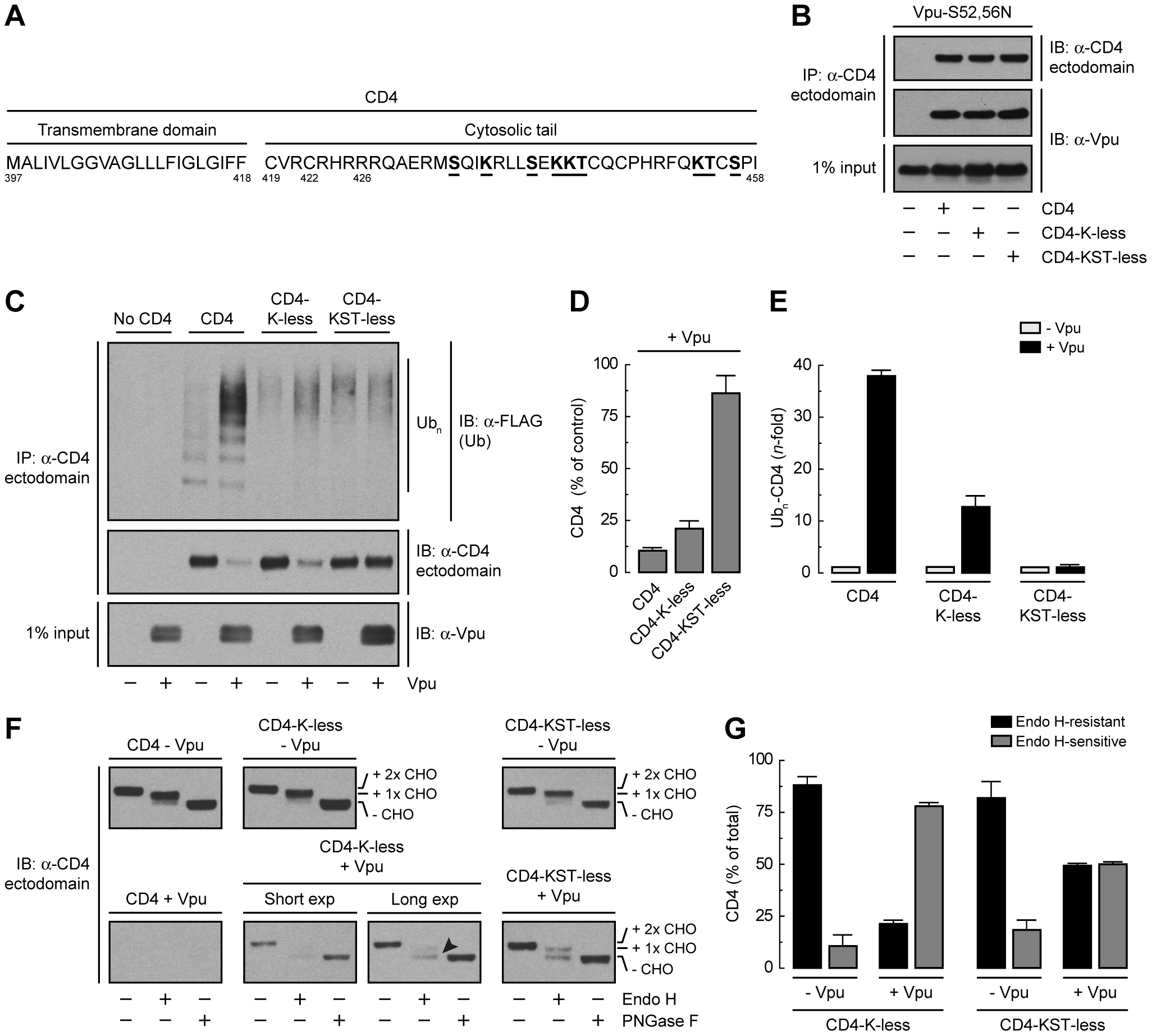 Requirement of lysine and serine/threonine residues in the cytosolic tail of CD4 for ubiquitination, degradation and ER retention.