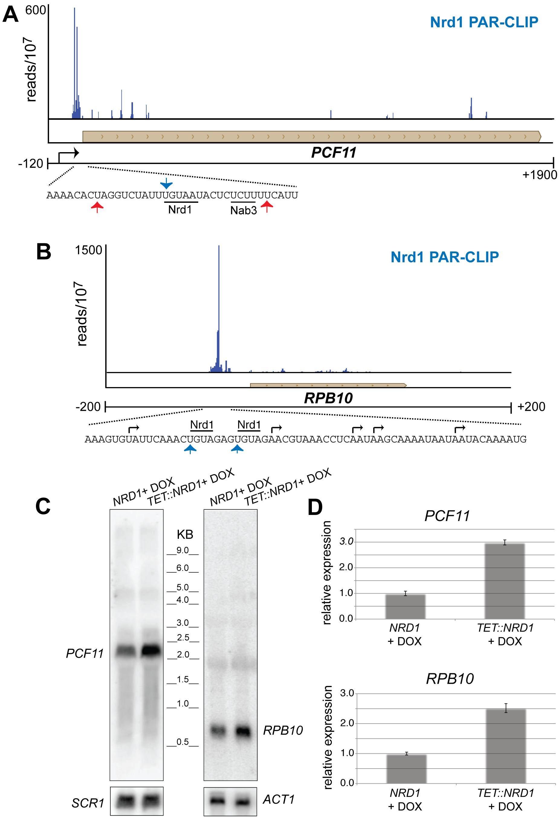Nrd1 regulation by binding in the 5′ UTR.