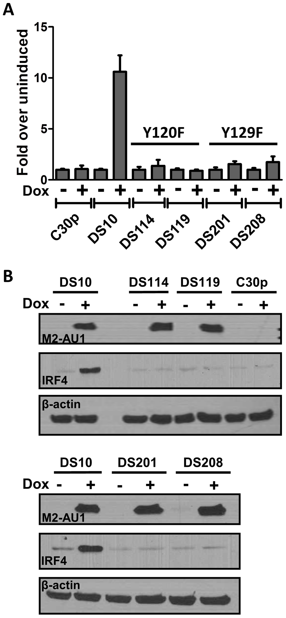 Tyrosines 120 and 129 of M2 are indispensable for M2 mediated NFAT activation and IRF4 expression.