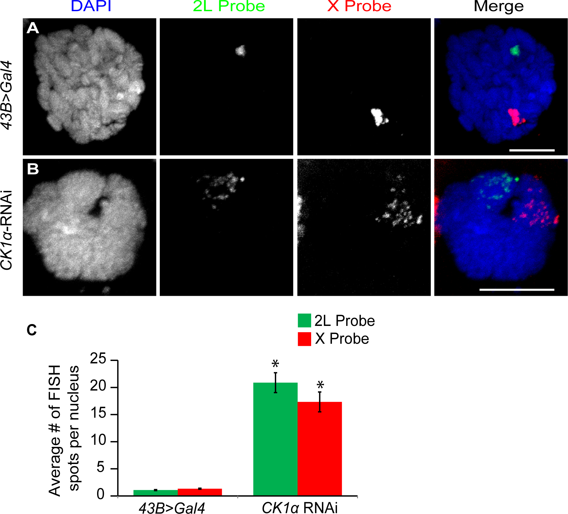 CK1α is required for polytene pairing in <i>Drosophila</i> salivary glands.